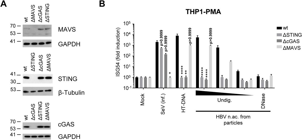 HBV rcDNA is sensed by the cGAS/STING pathway (A) Genome editing of THP1 CRISPR/Cas9 KO for STING, cGAS or MAVS was controlled by Western Blot. (B) PMA-differentiated WT or KO THP1 cells were infected with SeV, transfected with HT-DNA (0,1 µg/well) or with undigested (Undig.) or DNAse-digested HBV nucleic acids (n.ac.) from particles. ISG54 mRNA fold induction to the mock was determined by RT-qPCR 24h post-transfection. Average and SEM of 3 independent experiments in triplicates are shown. ****p
