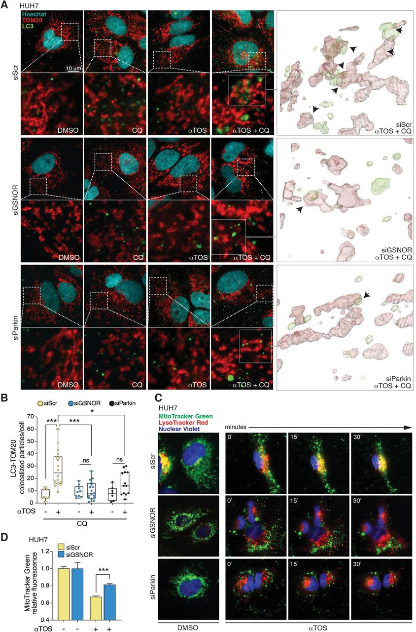 GSNOR-deficient hepatocellular carcinoma cells are insensitive to α TOS-induced mitophagy. (A) Mitophagy evaluation by fluorescence confocal microscopy of siScr, siGSNOR and siParkin HUH7 cells treated for 24 h with 40 μM αTOS and incubated with chloroquine (CQ) for 4 h to block mitochondrial degradation within autophagolysosomes. Mitochondria were labeled with an antibody against TOM20 (red), whereas autophagosomes were detected by using an anti-LC3 antibody (green). Hoechst 33342 (blue) was used to visualize nuclei. 3 central z-stacks (0.3 µm size) were merged in the microscopy pictures while > 6 stacks were used for the 3D-rendering of TOM20 and LC3 signals (right panels). (B) Number of mitochondria colocalizing with LC3-positive puncta in CQ ± αTOS-treated cells calculated by Fiji analysis software using the open-source plugin ComDet v. 0.3.7. * p