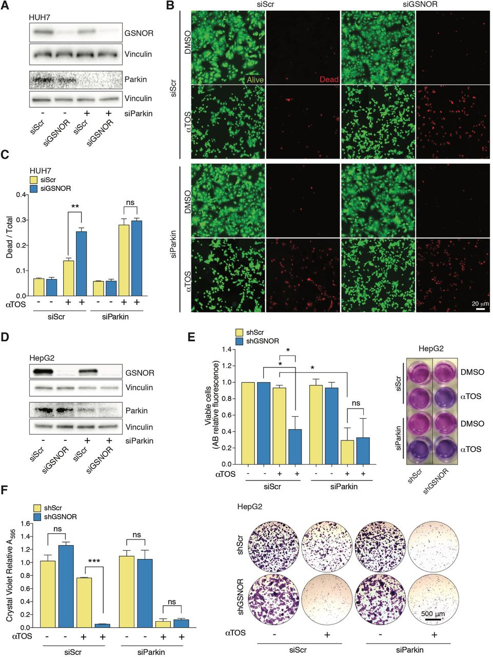 Mitophagy impairment contributes to GSNOR-deficient hepatocellular carcinoma sensitivity to αTOS. (A) Western blot analysis of GSNOR and Parkin in HUH7 cells transiently downregulating GSNOR (siGSNOR) and/or Parkin (siParkin). Vinculin was used as loading control. (B) Cell viability fluorescent assay performed in HUH7 cells singly or doubly transfected with siGSNOR or siParkin RNAs, and treated with 40 μM αTOS. Dead cells were stained with propidium iodide (red), whereas living cells were stained with calcein-AM (green). DMSO was selected as a control. (C) Cell death evaluation as ratio between dead and total cells and expressed as mean ± SEM of n = 5 different fields of n=3 independent experiments. ** p