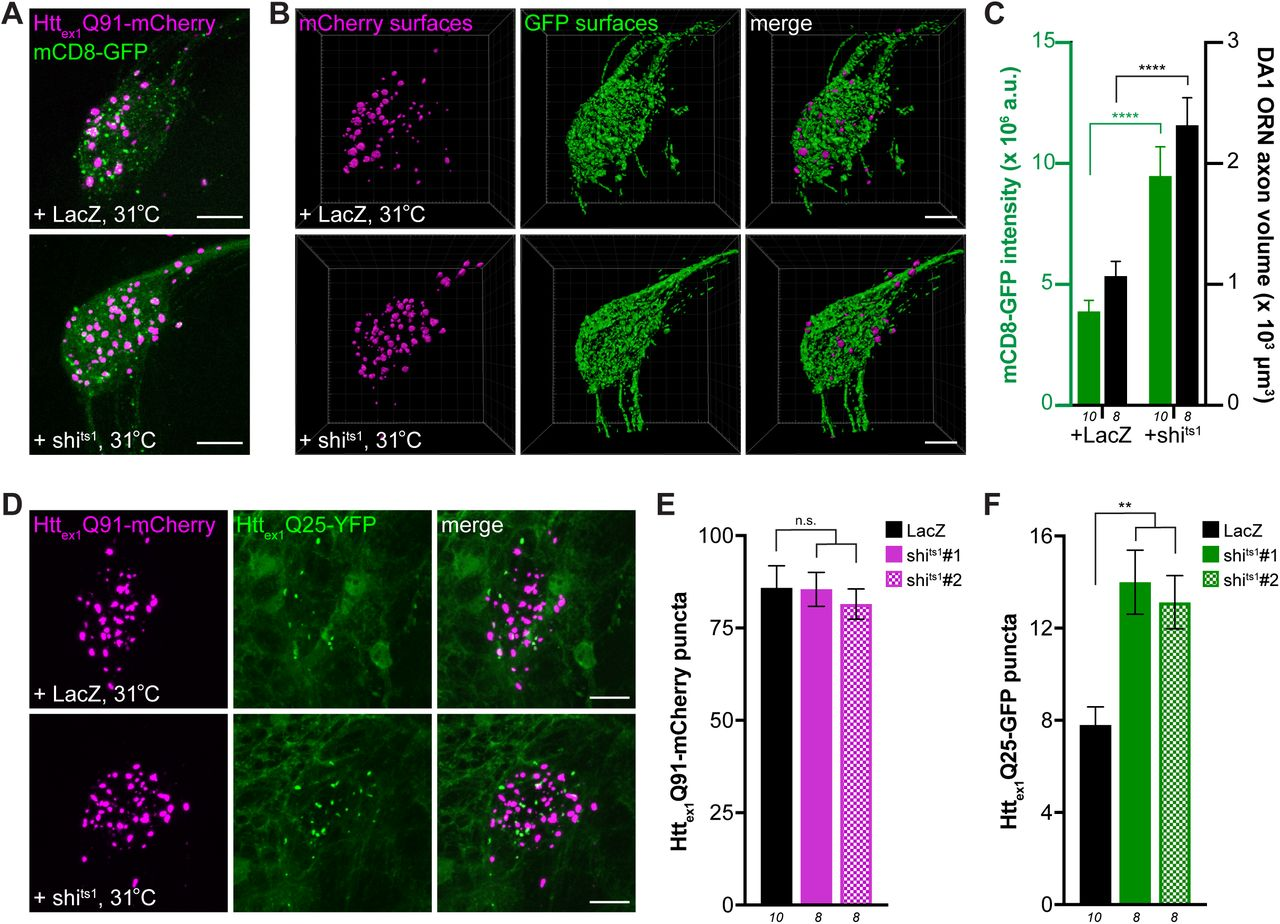 Inhibiting Shibire-mediated endocytosis increases mHttex1-expressing ORN axon volume and enhances transfer of mHtt ex1 aggregates from DA1 ORN axons to glia. (A and B) Confocal z-stacks of DA1 glomeruli from 10 day-old females co-expressing Htt ex1 Q91-mCherry, mCD8- GFP, and either LacZ (A) or shi ts1 (B) in DA1 ORNs. Flies were shifted from the permissive temperature (18°C) to the restrictive temperature (31°C) upon eclosion. Raw data are shown in grayscale, and 3D segmented surfaces are shown in red for Htt ex1 Q91 and as a heat map for mCD8-GFP to highlight differences in intensity between the genotypes. Scale bars = 10 μm. (C) Quantification of mCD8-GFP intensity (left y-axis, green ) and volume (right y-axis, black ) of DA1 glomeruli from 10 day-old adult females co-expressing LacZ or shi ts1 with Htt ex1 Q91-mCherry and mCD8-GFP in DA1 ORNs. a.u. = arbitrary units. Data are shown as mean ± SEM; ****p