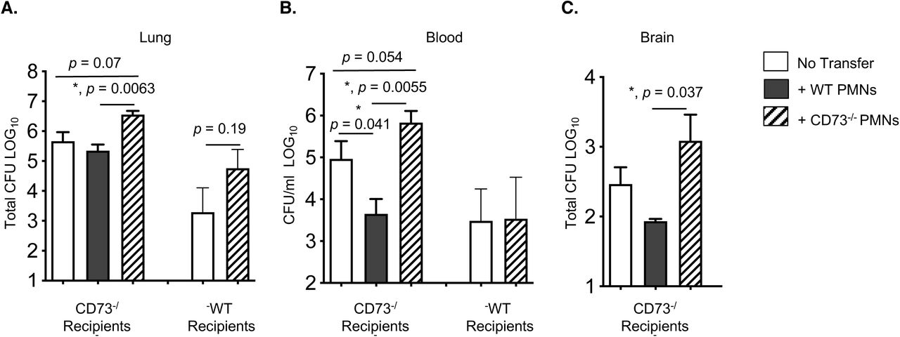 Adoptive transfer of PMNs from wild type mice boosts resistance of CD73 -/- mice to S. pneumoniae. C57BL/6 (WT) or CD73 -/- mice were mock treated (no transfer) or injected i.p with 2.5×10 6 of the indicated PMNs isolated from the bone marrow of C57BL/6 or CD73 -/- mice. One hour post transfer, mice were infected i.t with 5×10 5 CFU of S. pneumoniae and bacterial numbers in the lung (A), blood (B) and brain (C) were determined 24 hours post infection. Significant differences, determined by Student's t-test, are indicated by asterisks. Pooled data from n=5 mice per group are shown.