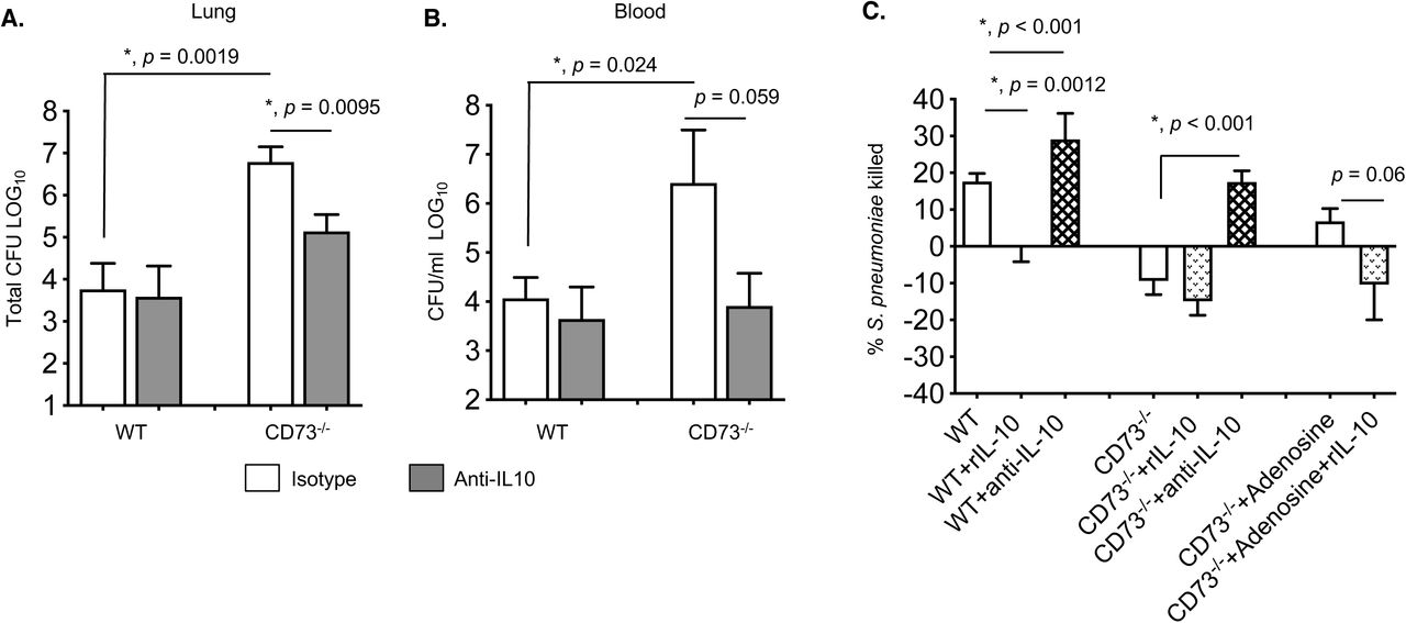 Blocking IL-10 rescues the anti-microbial function of CD73 -/- PMNs and reverses the susceptibility of CD73 -/- mice to pneumococcal challenge. (A-B) Wild-type (WT) C57BL/6 or CD73 -/- mice were treated i.p with IL-10 blocking antibody JES5-2A5 (anti-IL-10) or isotype control two hours prior to pulmonary challenge with 5×10 5 CFU of S. pneumoniae . Pneumococcal burdens in the lungs (A) and blood (B) were determined 48 hours post-infection. Pooled data from three separate experiments with (CD73 -/- +/-anti-IL-10 n=8 mice; WT+ anti-IL-10 n=5 mice and WT + isotype n=13 mice per group) are shown. Values significantly different by Student's t-test are indicated by asterisk. (C) PMNs from C57BL/6 or CD73 -/- mice were incubated for 20 minutes with the indicated anti-IL-10 (1μg/ml JES5-2A5), isotype control (1μg/ml), rIL-10 (50ng/ml) or adenosine (100μM) and then infected with pre-opsonized S. pneumoniae for 45 minutes at 37°C. Reactions were then plated on blood agar plates and the percentage of bacteria killed compared to a no PMN control under the same conditions was calculated. Data shown are pooled from three separate experiments (n=3 mice per strain) with each condition tested in triplicate. Asterisks indicate significant differences determined by Student's t-test.