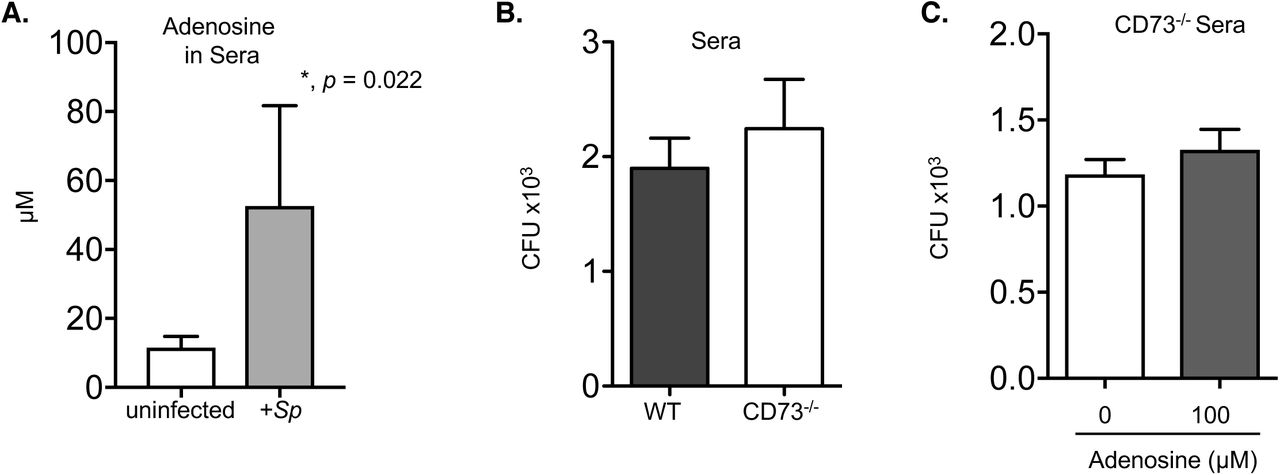 CD73 does not affect bacterial uptake or intracellular killing by PMNs. (A) Bone marrow PMNs from C57BL/6 mice were incubated for 40 minutes at 37°C with wild type or ΔPLY S. pneumoniae that were pre-opsonized with homologous sera at an MOI of 2. Gentamicin (50μg/ml) was then added for 30 minutes to kill extracellular bacteria. PMNs were washed and plated on blood agar plates to determine the amount of bacteria engulfed and the % of bacteria taken up (uptake) of the original infecting inoculum was calculated. (B) Wild type (S.p) or pneumolysin deficient ( ΔPLY S.p ) S. pneumoniae were incubated with 100 μg/ml Gentamycin for 30 minutes and the percentage of bacteria killed compared to a mock treatment control was then calculated by plating on blood agar plates. (C) C57BL/6 PMNs were incubated for 45 minutes at 37°C with the indicated strains of wild type (S.p) or pneumolysin deficient ( ΔPLY S.p ) S. pneumoniae pre-opsonized with sera. The percentage of bacteria killed compared to a no PMN control under the same conditions was then calculated by plating for viable bacteria on blood agar plates. (D-E) Bone marrow PMNs from the indicated strains of mice were incubated with S. pneumoniae ΔPLY pre-opsonized with homologous sera at an MOI of 2 for 10 minutes at 37°C and gentamicin (50μg/ml) was then added for 30 minutes to kill extracellular bacteria. PMNs were then washed and one set (D) immediately plated on blood agar plates to determine the amount of bacteria engulfed and the % of bacteria taken up (uptake) of the original infecting inoculum was calculated. The other sets of PMNs (E) were incubated for 30 and 90 more minutes and then plated to enumerate viable bacteria. The % of bacteria of the engulfed inoculum that was killed was then calculated (Intracellular Killing). Data shown are pooled from (A) two separate experiments, (B) two separate experiments and (C) four separate experiments (n=4 mice) and (D-E) two separate experiments (n=2 mice per strain) where each condition was tested in quadruplicates per experiment. Values significantly different by Student's t-test are indicated by asterisk.