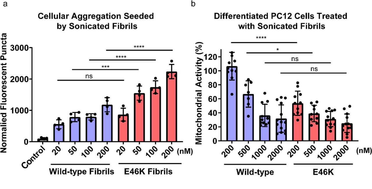 Biochemical analysis of E46K vs. wild-type fibrils a) Fibrils of E46K and wild-type α-syn were sonicated and transfected into HEK293T α-syn-A53T-YFP biosensor cells, and aggregation is measured by the normally soluble and diffuse intracellular α-syn-A53T-YFP forming discrete puncta, which are then quantified through fluorescent image analysis 24 . At all concentrations but 20 nM, E46K fibrils are significantly more powerful seeds than wild-type fibrils. Error bars represent the standard deviation of four technical replicates. b) In order to assay the toxicity of E46K and wild-type fibrils, we treated PC12 cells with sonicated fibrils and measured mitochondrial activity with an MTT assay 26 , 27 . E46K fibrils require a lower concentration to significantly impair mitochondrial activity compared to wild-type fibrils. Error bars represent the standard deviation of 7-14 technical replicates. **** = p-value ≤ 0.0001. ** = p-value ≤ 0.01. ns = p-value > 0.05. P-values were calculated using an unpaired, two-tailed t-test with a 95% CI.