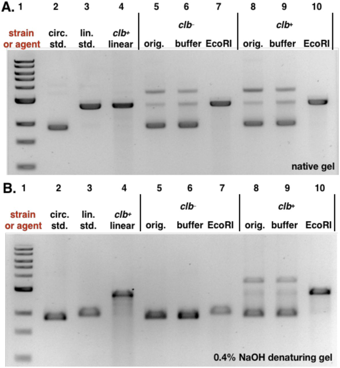 Analysis of pUC19 DNA following treatment with clb − or clb + E. coli and linearization with the restriction enzyme EcoRI. The cross-linked linearized pUC19 DNA isolated from a co-culture with clb + BW25113 E. coli was used a positive control. A. Analysis of DNA by native gel electrophoresis. B. Analysis of DNA by denaturing gel electrophoresis. For both A and B: DNA ladder (Lane #1); circular pUC19 DNA standard (Lane #2); linearized pUC19 DNA standard (Lane # 3); linearized pUC19 DNA co-cultured with clb + BW25113 E. coli (Lane #4); circular pUC19 DNA isolated from co-culture with clb − BW25113 E. coli (Lane #5), reacted with buffer (Lane #6), reacted with EcoRI restriction enzyme (Lane #7); circular pUC19 DNA isolated from co-culture with clb + BW25113 E. coli (Lane #8), reacted with buffer (Lane #9), reacted with EcoRI restriction enzyme (Lane #10). Conditions (Lane #4): linearized pUC19 DNA, clb + BW25113 E. coli , M9-CA media, 4 h at 37 °C. Conditions (Lane #5–#7): circular pUC19 DNA isolated from co-culture with clb − BW25113 E. coli in M9-CA media for 4 h at 37 °C (Lane #5); the DNA (15.4 µM base pair) was reacted with CutSmart Buffer® (New England Biolabs®), pH 7.9, at 37 °C for 30 minutes (Lane #6); the DNA (15.4 µM base pair) was reacted with 20 units of EcoRI-HF restriction enzyme in CutSmart Buffer® (New England Biolabs®), pH 7.9, at 37 °C for 30 minutes (Lane #7). Conditions (Lane #8–#10): circular pUC19 DNA isolated from co-culture with BW25113 clb + E. coli. in in M9-CA media for 4 h at 37 °C (Lane # 8); the DNA (15.4 µM base pair) was reacted with CutSmart Buffer® (New England Biolabs®), pH 7.9, at 37 °C for 30 minutes (Lane #9); the DNA (15.4 µM base pair) was reacted with 20 units of EcoRI-HF restriction enzyme in CutSmart Buffer® (New England Biolabs®), pH 7.9, at 37 °C for 30 minutes (Lane #10). The DNA was isolated and analyzed by native ( Fig. 5A ) or 0.4% NaOH denaturing ( Fig. 5B ) agarose gel electrophoresis (90 V, 1.5 h).