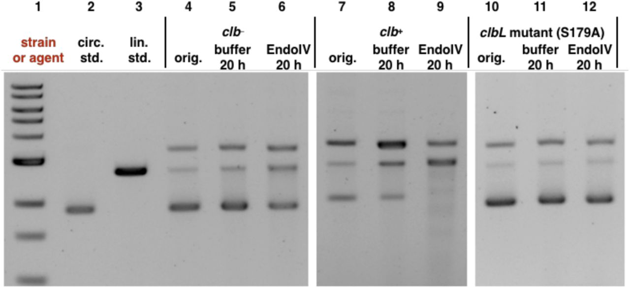 Exposure of pUC19 plasmid DNA to  clb + , followed by incubation with Endo IV leads to consumption of undamaged plasmid and formation of nicked and linearized DNA. This is not observed in the  clb −  or  clbL  mutant controls. DNA ladder (Lane #1); circular pUC19 DNA standard (Lane #2); linearized pUC19 DNA standard (Lane # 3); circular pUC19 DNA isolated from co-culture with  clb −  BW25113  E. coli  (Lane #4), reacted with buffer (Lane #5), reacted with Endonuclease IV (Lane #6); circular pUC19 DNA isolated from co-culture with  clb +  BW25113  E. coli  (Lane #7), reacted with buffer (Lane #8), reacted with Endonuclease IV (Lane #9); circular pUC19 DNA isolated from co-culture with  clbL  mutant (S179A) BW25113  E. coli  (Lane #10), reacted with buffer (Lane #11), reacted with Endonuclease IV (Lane #12). Conditions (Lane #4–#6): circular pUC19 DNA from co-culture with  clb −  BW25113  E. coli  in M9-CA media for 4 h at 37 °C (Lane # 4); the DNA (3.9 µM base pair) was reacted with NEBuffer 3.1 (New England Biolabs®), pH 7.9, at 37 °C for 20 hours (Lane #5); the DNA (3.9 µM base pair) was further reacted with 20 units of Endonuclease IV in NEBuffer 3.1® (New England Biolabs®), pH 7.9, at 37 °C for 20 hours (Lane #6). Conditions (Lane #7–#9): circular pUC19 DNA isolated from co-culture with  clb +  BW25113  E. coli.  in in M9-CA media for 4 h at 37 °C (Lane #7); the DNA (3.9 µM base pair) was reacted with NEBuffer 3.1 (New England Biolabs®), pH 7.9, at 37 °C for 20 hours (Lane #8); the DNA (3.9 µM base pair) was reacted with 20 units of Endonuclease IV in NEBuffer 3.1® (New England Biolabs®), pH 7.9, at 37 °C for 20 hours (Lane #9). Conditions (Lane #10–#12): circular pUC19 DNA isolated from co-culture with  clbL  mutant (S179A) BW25113  E. coli.  in M9-CA media for 4 h at 37 °C (Lane #10); the DNA (3.9 µM base pair) was reacted with NEBuffer 3.1® (New England Biolabs®), pH 7.9, at 37 °C for 20 hours (Lane #11); the DNA (3.9 µM base pair) was reacted with 20 units of