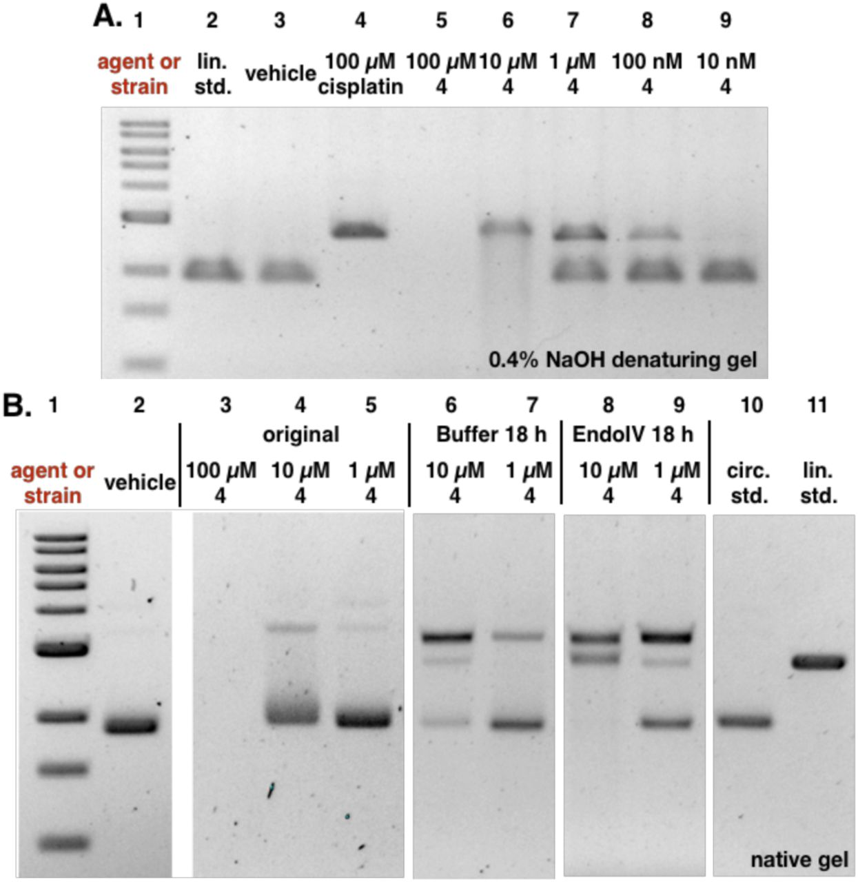 Analysis of induction of AP sites by the colibactin precursor  4. A.  Incubation of plasmid pUC19 DNA exposed to  4  in buffer for 18 h results in minor nicking and cleavage.  B.  Addition of EndoIV increases the amount of nicked and cleaved plasmid. Conditions: A. 5% DMSO was used as vehicle (negative control), and 100 µM cisplatin was used as positive control. DNA ladder (Lane #1); linearized pUC19 DNA standard (Lane #2); 5% DMSO (Lane #3); 100 µM cisplatin (Lane #4); 100 µM  4  (Lane #5); 10 µM  4  (Lane #6); 1 µM  4  (Lane #7); 100 nM  4  (Lane #8); 10 nM  4  (Lane #9). Conditions (Lane #3): linearized pUC19 DNA (15.4 µM in base pairs), 5% DMSO (vehicle), 10 mM citric buffer, pH 5.0, 4 h, 37 °C. Conditions (Lane #4): linearized pUC19 DNA (15.4 µM in base pairs), 5% DMSO (vehicle), 100 µM cisplatin, 10 mM citric buffer, pH 5.0, 4 h, 37 °C. Conditions (Lanes #5–#9): circular pUC19 DNA (15.4 µM in base pairs),  4  (100 µM–10 nM), 5% DMSO, 10 mM citric buffer, pH 5.0, 4 h, 37 °C. The DNA was analyzed by 0.4% NaOH denaturing agarose gel electrophoresis (90 V, 1.5 h). B. 5% DMSO was used as vehicle. DNA ladder (Lane #1); 5% DMSO (Lane #2); 100 µM  4  (Lane #3); 10 µM  4  (Lane #4); 1 µM  4  (Lane #5); post buffer-reacted after 10 µM  4  (Lane #6); post buffer-reacted after 1 µM  4  (Lane #7); post EndoIV-reacted after 10 µM  4  (Lane #8); post EndoIV-reacted after 1 µM  4  (Lane #9); circular pUC19 plasmid standard (Lane #10); linearized pUC19 plasmid standard (Lane #11). Conditions (Lane #2): circular pUC19 DNA (15.4 µM in base pairs), 5% DMSO (vehicle), 10 mM citric buffer, pH 5.0, 4 h, 37 °C. Conditions (Lanes #3–#5): circular pUC19 DNA (15.4 µM in base pairs),  4  (100 µM–1 µM), 5% DMSO, 10 mM citric buffer, pH 5.0, 3 h, 37 °C. Conditions (Lanes #6–#7):  4  (10 µM–1 µM)-treated circular pUC19 DNA (3.9 µM in base pairs), NEBuffer 3.1® (New England Biolabs®), pH 7.9, at 37 °C for 18 h. Conditions (Lanes #8–#9):  4  (10 µM–1 µM)-treated circular pUC19 DNA (3.9 µM in 