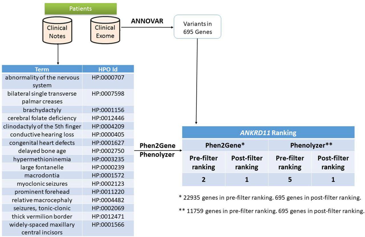 General use case. Proband has a condition with unknown genetic cause but several candidate variants annotated and filtered using ANNOVAR 104 . Clinical notes on the proband's condition are used by Doc2HPO to generate a list of <t>HPO</t> terms, which act as input for Phen2Gene or <t>Phenolyzer.</t> These tools rank several thousand genes and by intersecting them with the candidate list of genes overlapping the variants, we obtain a list of likely candidate genes for KGB syndrome, which is known to be caused by variants in ANKRD11, shown here.