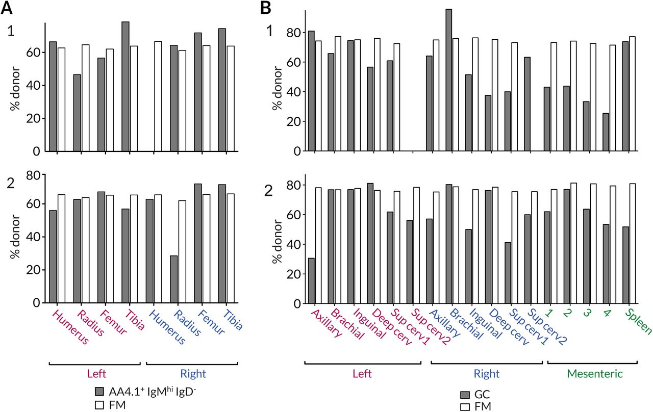 Variation in the degree of stable chimerism in B cell subsets within the same mice. (A) Variation in the chimerism among AA4.1 + IgM hi IgD − B cell progenitors and recirculating FM B cells within different BM sites. (B) Variation in chimerism across different lymph nodes. Data from two representative animals.