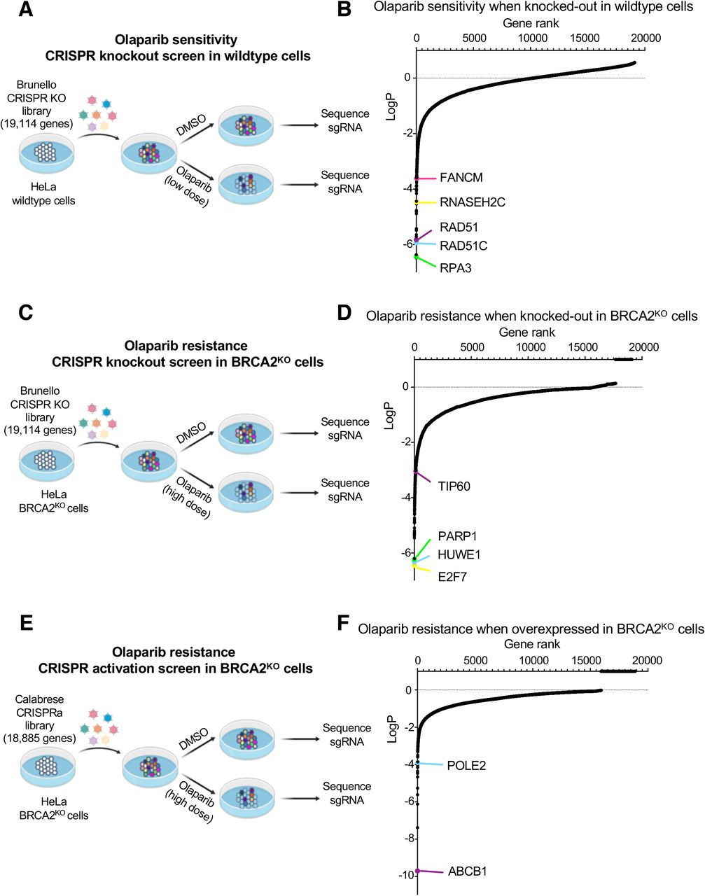 Complementary CRISPR knockout and activation screens identify determinants of PARPi response in parental or BRCA2-knockout HeLa cells. (A) Schematic representation of the CRISPR knockout screen for olaparib sensitivity in wildtype cells. HeLa cells were infected with the Brunello CRISPR knockout library. Infected cells were divided into PARP inhibitor (olaparib) -treated or control (DMSO) arms. Genomic DNA was extracted from cells surviving the drug treatment and single-guide RNAs (sgRNAs) were identified using Illumina sequencing. (B) Scatterplot showing the results of this screen. Each gene targeted by the library was ranked according to P-values calculated using RSA analysis. The P-values are based on the fold change of the guides targeting each gene between the olaparib- and DMSO-treated conditions. Several biologically interesting hits are highlighted. (C) Schematic representation of the CRISPR knockout screen for olaparib resistance in BRCA2 KO cells. HeLa BRCA2 KO cells were infected with the Brunello CRISPR knockout library. Infected cells were divided into PARP inhibitor (olaparib) -treated or control (DMSO) arms. (D) Scatterplot showing the results of this screen, with several biologically interesting hits highlighted. (E) Schematic representation of the CRISPR activation screen for olaparib resistance in BRCA2 KO cells. HeLa BRCA2 KO cells stably expressing the modified dCas9 enzyme were infected with the Calabrese CRISPR activation library. Infected cells were divided into PARP inhibitor (olaparib) -treated or control (DMSO) arms. (F) Scatterplot showing the results of this screen, with several biologically interesting hits highlighted.