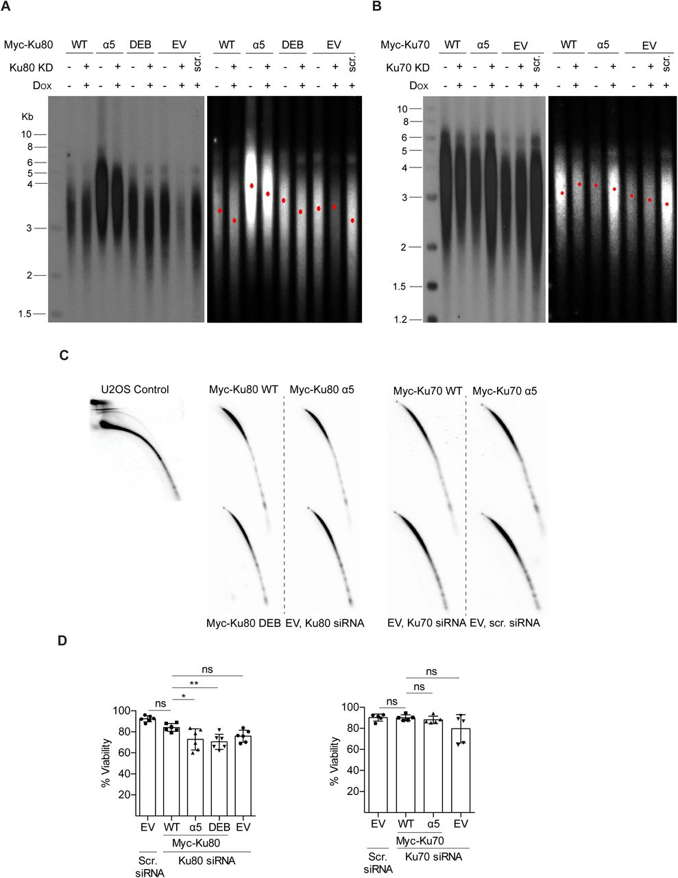 Myc-Ku80 α5 mutant or Myc-Ku80 DEB expression compromises cell viability but does not lead to telomere shortening or t-circle formation in short term cultures. (A) Representative Southern blot analysis to measure telomere lengths of indicated cell lines uninduced or induced to express Myc-Ku80 transgenes. Empty vector cell line transfected with scrambled (scr) or Ku80 siRNA was used as positive and negative controls. KD indicates siRNA-mediated knockdown. Telomere Southern blots were quantified via TeloTool software and the red dot in each lane denotes mean telomere length. Additional representative experiment included in Supplemental Figure S3 (B) Same as A except telomere lengths of indicated cell lines uninduced or induced to express Myc-Ku70 transgenes. Additional representative experiment included in Supplemental Figure S3 (C) 2D gel electrophoresis of HinfI/RsaI digested genomic DNA prepared from indicated cell lines that were subjected to either Ku70 or Ku80 knockdown. U2OS control cell line showing t-circles (D) Analysis of cell viability by Annexin V staining of indicated cell lines expressing Myc-Ku80 or Myc-Ku70 transgenes. Empty vector cell line transfected with scrambled (scr) or Ku70 or Ku80 siRNA was used as controls.
