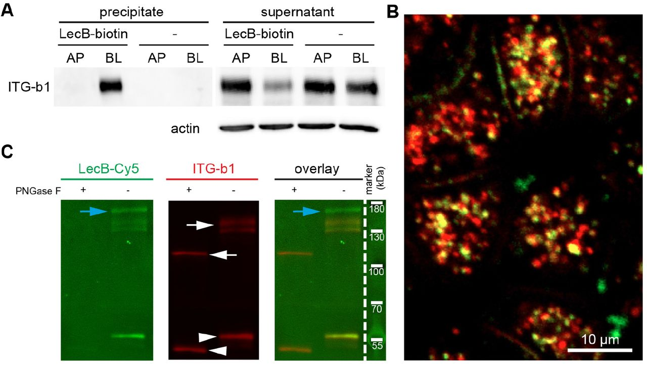LecB directly binds to β1-integrin (A) LecB-biotin was applied apically (AP) or basolaterally (BL) to polarized filter grown MDCK cells or cells were mock-treated AP or BL. Cells were lysed and LecB-biotin-receptor complexes were precipitated with streptavidin beads. Afterwards the presence of β1-integrin was probed by Western blot in the precipitate and the remaining supernatant of the precipitation. (B) LecB-Cy3 (red) was applied basolaterally to MDCK cells for 6 h. Cells were fixed and stained for β1-integrin (green). A confocal section (x-y section) crossing the cells in the sub-apical region is displayed, since in this region most internalized vesicles were concentrated. (C) MDCK cells were lysed, β1-integrins were immunoprecipitated and treated or left untreated with PNGase F to remove N-linked glycans. Western blot analysis of the immunoprecipitated β1-integrins was performed and β1-integrin presence was proven by staining with anti-β1-integrin antibodies (white arrows). Also bands from the antibody used for β1-integrin precipitation are visible (white arrowheads) and proteins that putatively co-precipitated with β1-integrin (blue arrows). To probe the binding of LecB to β1-integrin, LecB-Cy5 was incubated with membranes (far Western assay).