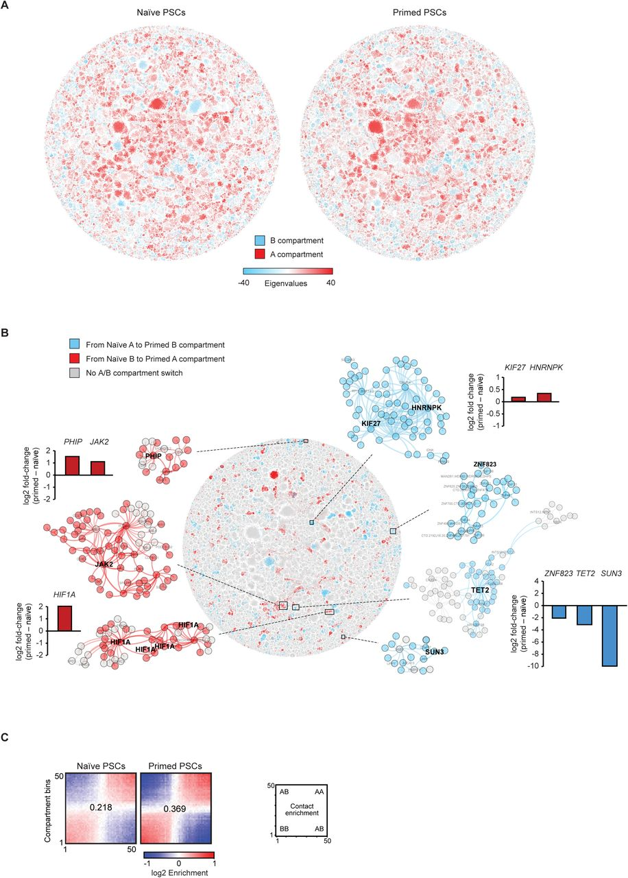 Long-range promoter interactions create large sub-networks in primed PSCs (A) Scatter plots show the number of interactions (edges) and the number of interacting HindIII fragments (nodes) for each sub-network in naïve and primed PSCs. The lower-left quadrant contains larger sub-networks in primed PSCs, and the upper-right quadrant contains larger sub-networks in naïve PSCs. The HOXA , HOXD , NKX and HISTH1 sub-networks are highlighted. Sub-networks are coloured according to their number of long-range promoter interactions. Note the increased number of long-range promoter interactions within most sub-networks in primed (right) compared to naïve (left) PSCs. (B) Genome browser tracks show the PCHi-C interactions and CHiCAGO scores in naïve and primed PSCs for the HOXA , HOXD , NKX and HISTH1 sub-networks. (C) Dot plots show that the high number of long-range promoter interactions in primed PSCs is independent of the applied CHiCAGO threshold. Each dot represents a PCHi-C interaction, positioned according to the linear genomic distance of the interaction (x-axis) and the assigned CHiCAGO score (y-axis). Black dots show the interactions obtained when applying a CHiCAGO score of > 5 (the threshold used for constructing the network graph) and red dots show the interactions when using a relaxed CHiCAGO score of between 3 and 5. Primed PSCs have more long-range promoter interactions (shaded area; defined as > 1Mb) compared to naïve PSCs when either CHiCAGO threshold score is applied.