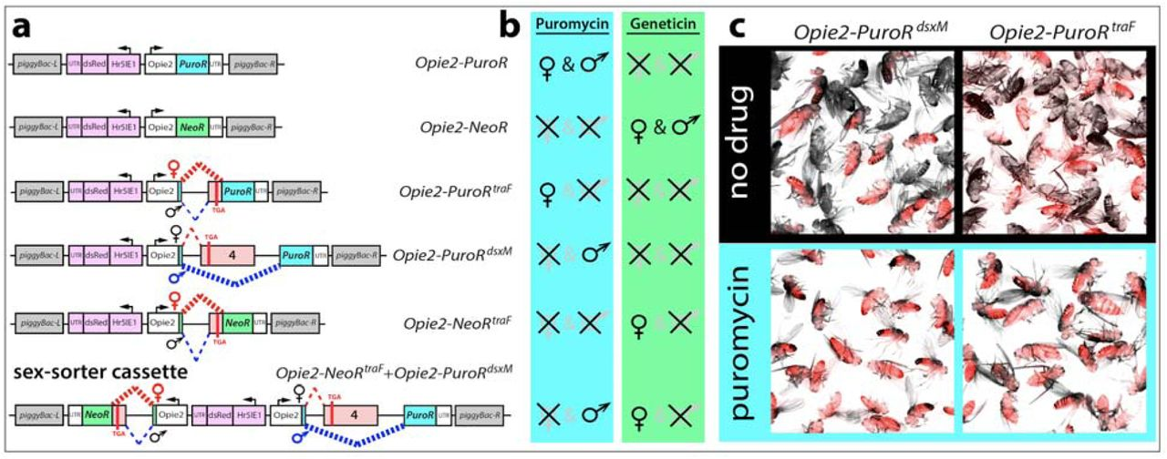 Sex selection and fitness of the flies carrying two copy of sex-sorter cassette. The sex-sorter cassette includes NeoR traF and PuroR dsxM genes that confer resistance to puromycin and geneticin antibiotics, respectively, in the sex-specific manner ( Figure 1a ). The PuroR dsxM gene is properly spliced and results in expression of the functional PuroR protein only in males, while NeoR traF expresses the NeoR protein only in females. To estimate the lowest concentration of an antibiotic at which male or female selection is enforced at 100%, the homozygous sex-sorter flies were raised on various concentrations of puromycin or geneticin. (a) Only male flies emerged from the food supplemented with 0.4 mg/mL or more of puromycin. (b) Raising the same flies on the food containing 0.2 mg/mL or more of geneticin resulted in the emergence of only female flies. To compare the fitness of homozygous sex-sorter flies to that of wild type ( wt ) flies, the embryo-to-adult survival of both fly types were compared under normal and selective conditions. (c) Embryos of both sex-sorter (gray bars) and wt flies (white bars) survived to the adulthood equally well on food without any antibiotics and died on the food supplemented with both puromycin and geneticin to 0.4 and 1.2 mg/mL. (d) The survival of male or female sex-sorter flies under selection treatments was statistically identical to that of the corresponding gender from wt flies raised under normal conditions. Bar plots show the average ± SD over at least three biological replicates. Statistical significance was estimated using a t test with equal variance. ( P ≥ 0.05 ns , P