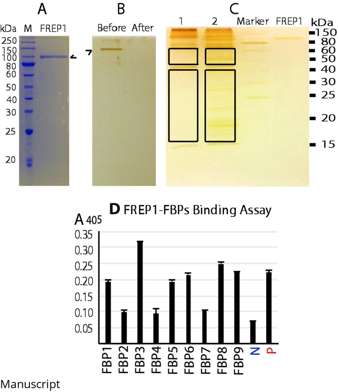 Protein sequence comparison and purified Ab transmission-blocking assays. A ) Sequence alignment of human α-tubulin (HA), P. falciparum α-tubulin-1 (PfA), human β-tubulin (HB), P. falciparum β-tubulin (PfB). B ) Purified rabbit anti-human α-tubulin polyclonal Ab (labeled with α) significantly reduced the number of P. falciparum oocysts in An. gambiae midguts, while purified Ab against β-tubulin (labeled with β) did not inhibit P. falciparum transmission to An. gambiae. A non-related purified rabbit polyclonal Ab (anti-V5, labeled with control) was used as the negative control. Wilcoxon test was used to calculated P-value. The experiment was repeated twice and the results were similar.