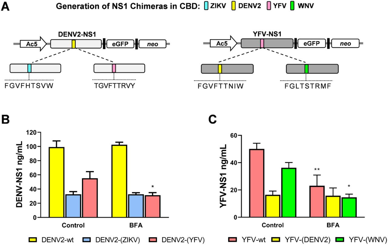 Secretory phenotype of CBD-chimeras of flavivirus NS1. A. Schematic representation of the chimeras generated from DENV (left) and YFV (right) NS1. Colors indicate the origin of the CBD. B. Secretion of DENV2-NS1 chimeras with ZIKV and YFV CBD. C. Secretion of YFV-NS1 chimeras with DENV and WNV CBD. Twenty-four hours post-transfection, C6/36 cells were treated with DMSO (control) or with 25 µM BFA and the supernatants harvested after 48 h. Levels of secreted NS1 were measured by ELISA. Data are mean of at least 3 independent experiments ± standard error; significant differences compared with controls are denoted by *( p