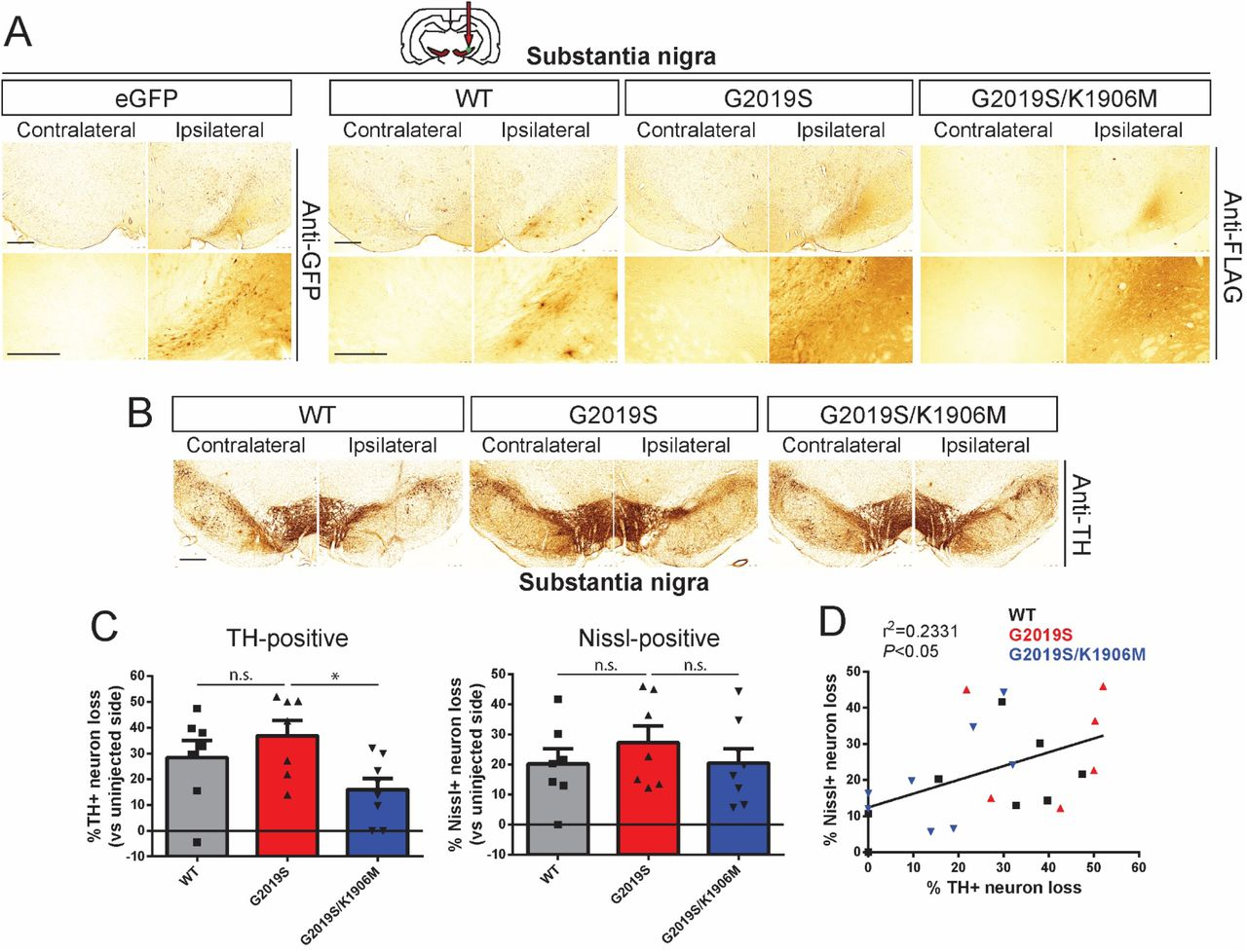 Intranigral delivery of Ad5-LRRK2-G2019S induces dopaminergic neurodegeneration in a kinase-dependent manner in adult rat brain. A) Ad5-LRRK2 (WT, G2019S or G2019S/K1906M) vectors were unilaterally delivered at a single site (1.5 x 10 10 vp/site, in 2.5 μl) in the rat substantia nigra. Immunohistochemistry reveals expression of eGFP (anti-GFP antibody) or human LRRK2 variants (anti-FLAG antibody) that persists up to 21 days post-injection. Images indicate low and high magnification for each vector. Scale bars: 500 μm. B) Immunohistochemistry revealing dopaminergic neurons (anti-TH antibody) in contralateral and ipsilateral substantia nigra at 21 days post-delivery of Ad5 vectors. Scale bars: 500 μm. C) Unbiased stereological analysis of TH-positive dopaminergic and total Nissl-positive neuron number in the substantia nigra at 21 days post-injection. Bars represent % neuronal loss in the injected ipsilateral nigra relative to the contralateral nigra (mean ± SEM, n = 7-8 animals/vector), * P