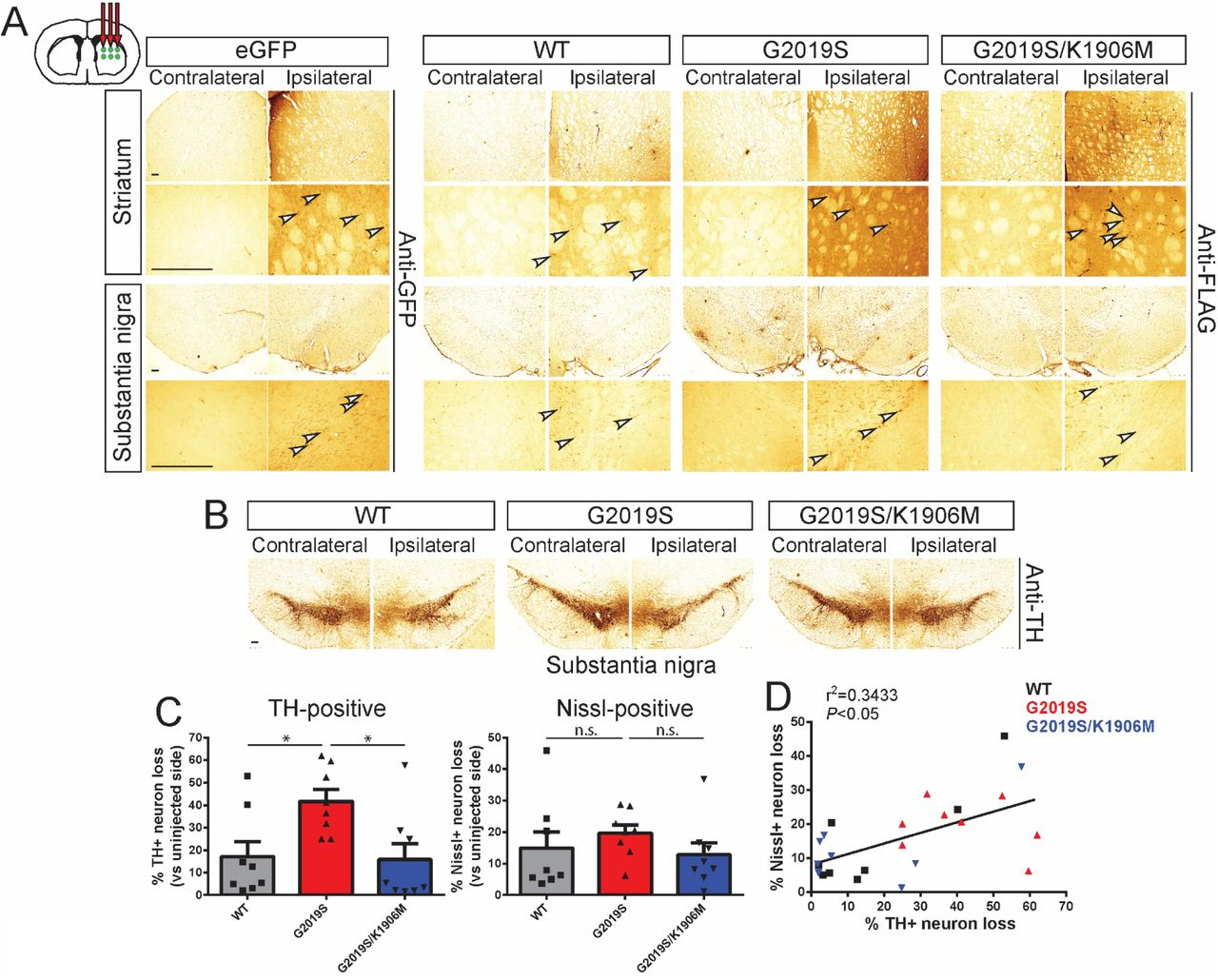 Intrastriatal delivery of Ad5-LRRK2-G2019S induces kinase-dependent dopaminergic neurodegeneration in adult rat brain. A) Ad5-LRRK2 (WT, G2019S and G2019S/K1906M) vectors were unilaterally delivered at six injection sites (1.5 x 10 10 vp/site, in 2.5 μl) to the rat striatum. Immunohistochemistry reveals expression of eGFP (anti-GFP antibody) or human LRRK2 variants (anti-FLAG antibody) in the ipsilateral striatum and nigra that persists up to 42 days post-injection. Images indicate low and high magnification for each vector and brain region. Scale bars: 500 μm. B) Immunohistochemistry revealing dopaminergic neurons (anti-TH antibody) in contralateral and ipsilateral substantia nigra at 42 days post-delivery of Ad5 vectors. All sections were counterstained with Cresyl violet. Scale bars: 500 μm. C) Unbiased stereological analysis of TH-positive dopaminergic and total Nissl-positive neuron number in the substantia nigra at 42 days post-injection. Bars represent % neuronal loss in the injected ipsilateral nigra relative to the contralateral nigra (mean ± SEM, n = 8 animals/vector), * P