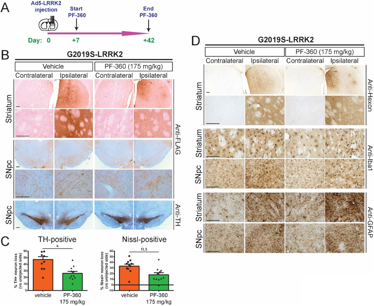 Pharmacological kinase inhibition (PF-360) protects against dopaminergic neurodegeneration induced by human G2019S LRRK2. A) Ad5-G2019S-LRRK2 vectors were unilaterally delivered at six distinct locations (1.5 x 10 10 vp/site, in 2.5 μl) to the rat striatum. Rats were fed continuously with control (vehicle) or PF-360 (175 mg/kg) chow from days 7 to 42 post-injection. Brain tissues were harvested at 42 days post-injection and subjected to immunohistochemical analysis. B) Immunohistochemistry reveals expression of human LRRK2 (anti-FLAG antibody) in striatum and nigra, or nigral dopaminergic neurons (anti-TH antibody), of rats at 42 days post-injection. Images indicate low and high magnification for each group and brain region. TH sections were counterstained with Cresyl violet. Scale bars: 500 μm. C) Unbiased stereological analysis of TH-positive dopaminergic and total Nissl-positive neuron number in the substantia nigra at 42 days post-injection. Bars represent % neuronal loss in the injected ipsilateral nigra relative to the contralateral nigra (mean ± SEM, n = 12 animals/group), * P