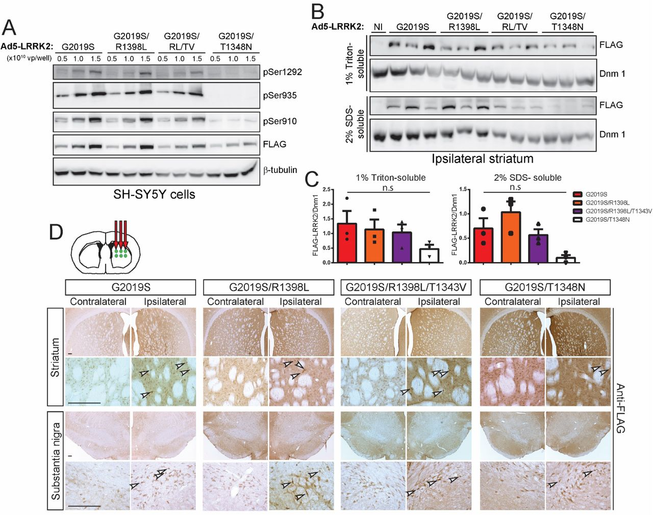 Evaluation of Ad5-LRRK2-G2019S vectors with genetic disruption of GTP-binding or GTP hydrolysis in cells and rat brain. A) Validation of high-titer Ad5-LRRK2 (G2019S, G2019S/R1398L, G2019S/R1398L/T1343V or G2019S/T1348N) vectors and LRRK2 phosphorylation in SH-SY5Y cells. Cells were transduced with increasing viral particles (vp) of each Ad5-LRRK2 vector (0.5, 1 or 5.0 x 10 10 vp/well). Western blot analysis of cell extracts with FLAG antibody (transduced human LRRK2) or antibodies to detect LRRK2 autophosphorylation (pSer1292) or constitutive phosphorylation (pSer935, pSer910) sites to detect a titer-dependent increase in human LRRK2 levels/activity. β-tubulin was used as protein loading control. B) Ipsilateral striatum was harvested at 10 days after unilateral intrastriatal delivery of Ad5-LRRK2 vectors and subjected to sequential detergent extraction in 1% Triton X100 and 2% SDS. Striatal fractions were analyzed by Western blot analysis ( n = 3 animals/vector) indicating human LRRK2 variant levels (anti-FLAG antibody). Expression of dynamin-I (DnmI) was used as loading control. NI, non-injected striatum. C) Densitometric analysis of human LRRK2 variant levels (FLAG) normalized to Dnm 1 levels in each detergent fraction. Bars represent the mean ± SEM ( n = 3 animals/vector). n.s , non-significant by one-way ANOVA with Bonferroni's multiple comparisons. D) Ad5-LRRK2 (G2019S, G2019S/R1398L, G2019S/R1398L/T1343V, G2019S/T1348N) vectors were unilaterally delivered at six injection sites (1.5 x 10 10 vp/site, in 2.5 μl) in the rat striatum. Immunohistochemistry indicates human LRRK2 variant (anti-FLAG) expression in the ipsilateral striatum and substantia nigra that persists up to 42 days post-injection. Images indicate low and high magnification for each vector and brain region. Scale bars: 500 μm.