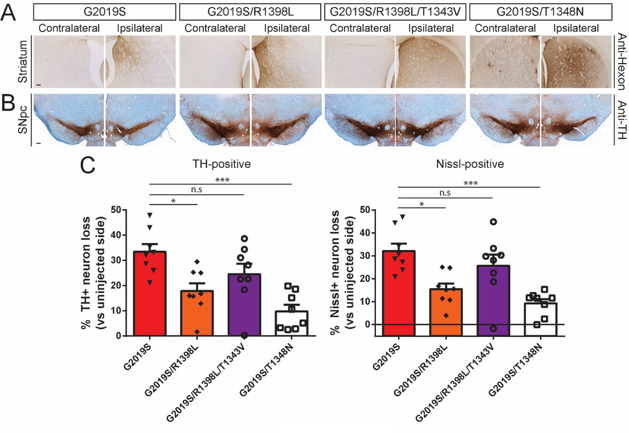 Ad5-G2019S-LRRK2 induces dopaminergic neurodegeneration in a GTPase-dependent manner in adult rat brain. A) Immunohistochemistry indicating Ad5 capsid (anti-Hexon) in the ipsilateral rat striatum at 42 days post-injection of Ad5-LRRK2 vectors. Scale bars: 500 μm. B) Immunohistochemistry showing nigral dopaminergic neurons (anti-TH antibody) at 42 days post-delivery. All sections were counterstained with Cresyl violet. Scale bars: 500 μm. C) Unbiased stereological analysis of TH-positive dopaminergic and total Nissl-positive neuron number in the substantia nigra at 42 days post-injection. Bars represent % neuronal loss in the injected ipsilateral nigra relative to the contralateral nigra (mean ± SEM, n = 8 animals/vector), * P