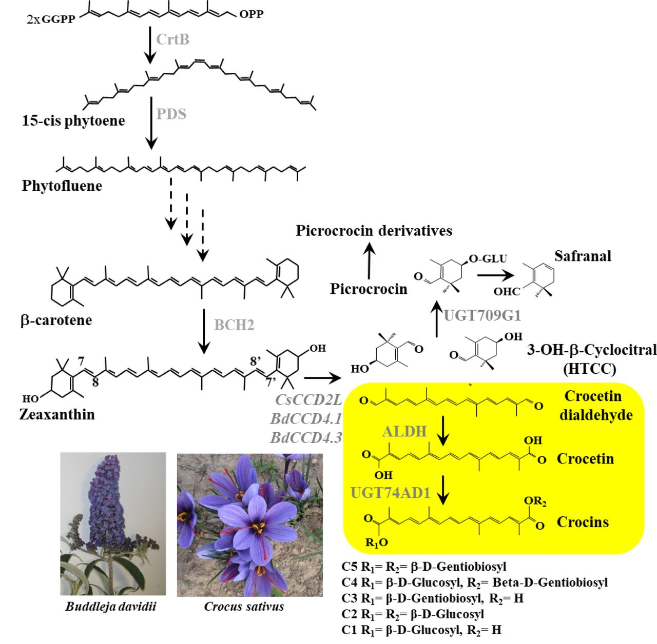 Schematic overview of the crocins biosynthesis pathway in C. sativus and B. davidii . CrtB, phytoene synthase; PDS, phytoene desaturase; BCH2, carotene hydroxylase; CsCCD2L, C. sativus carotenoid cleavage dioxygenase 2L; BdCCD4.1 and 4.3, B. davidii carotenoid cleavage dioxygenase 4.1 and 4.3; ALDH, aldehyde dehydrogenase; UGT74AD1, UDP-glucosyltransferase 74AD1.