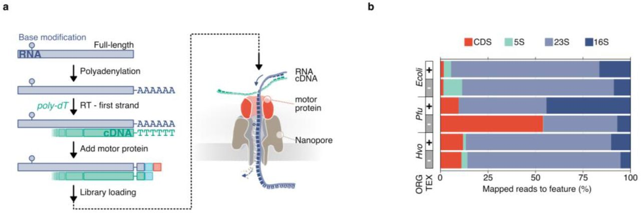 Nanopore-based native RNA sequencing of prokaryotes. a , Key steps of library preparation: (1) native RNA is polyadenylated, which allows library preparation using the direct RNA kit from Oxford Nanopore and sequencing on a MinION device. (2) 3' ligation is performed to add an adapter carrying the motor-protein (red square), which unzips the RNA-cDNA hybrid and pulls the RNA through the Nanopore (detailed description see Supplementary Fig. 1a). b , Data sets for three prokaryotic model organisms ( Ecoli : Escherichia coli, Pfu : Pyrococcus furiosus, Hvo : Haloferax volcanii ) were collected and mapped to their respective reference genome. Transcript abundances of genomic features (protein coding genes (CDS): red, 5S rRNA: green, 16S rRNA: purple, 23S rRNA: light-purple) were estimated using featurecounts 50 (TEX-treated samples are shown as example in Fig. 1 ). c , Aligned read lengths across different genomic features. d , Comparison of read identities between CDS (red) and rRNA (grey)-mapping reads.