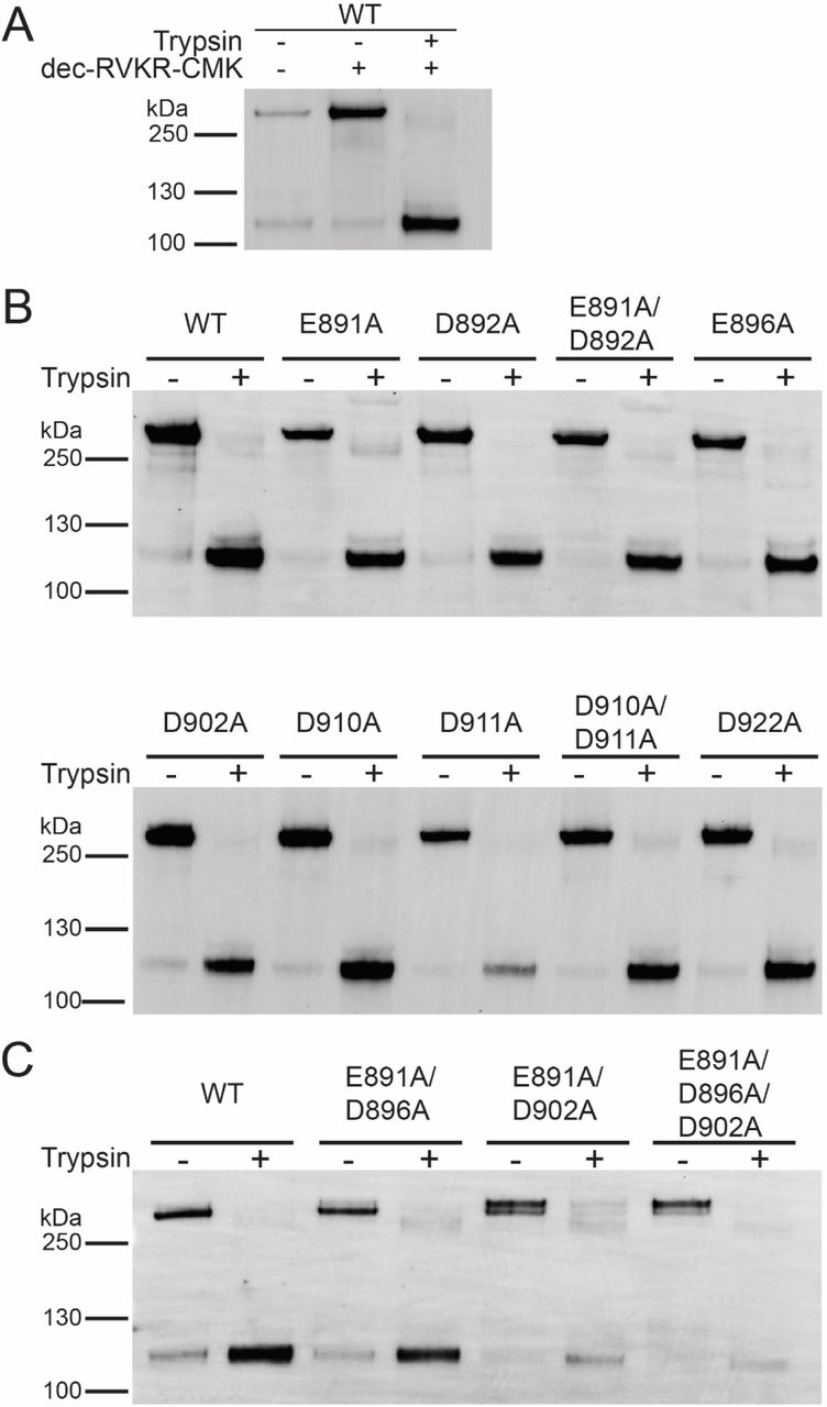 Protein expression and trypsin-mediated cleavage of MERS-CoV S WT and mutants. (A) Plasmid DNA encoding MERS-CoV S WT EMC/2012 was transfected in HEK293T cells. The protease inhibitor dec-RVKR-CMK at a concentration of 75 µM was added at the time of transfection, as indicated. After 18 h, transfected cells were treated with 0.8 nM TPCK-treated trypsin, as indicated. Proteins were subsequently isolated via cell-surface biotinylation. The cell surface proteins were analyzed using SDS-PAGE and detected using a Western blot with MERS-CoV S antibodies. (B) and (C) MERS-CoV S mutant proteins with indicated A substitutions were expressed in HEK293T cells. Protease inhibitor dec-RVKR-CMK was added at the time of transfection and after 18 h, cells were treated with TPCK-treated trypsin, as indicated. Cell surface proteins were isolated and analyzed as described above. Full length S proteins are visible at approx. 250 kDa. S1/S2 cleaved S protein are visible at approx. 115 kDa.