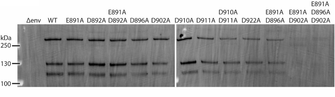 Western blot analysis of S proteins incorporated into PPs. 1 ml of DMEM containing PPs per each tested S protein were ultra-centrifuged, washed in PBS and resuspended in SDS Laemmli Buffer. Incorporated S proteins were analyzed using SDS-PAGE and detected using a Western blot with MERS-CoV S antibodies.