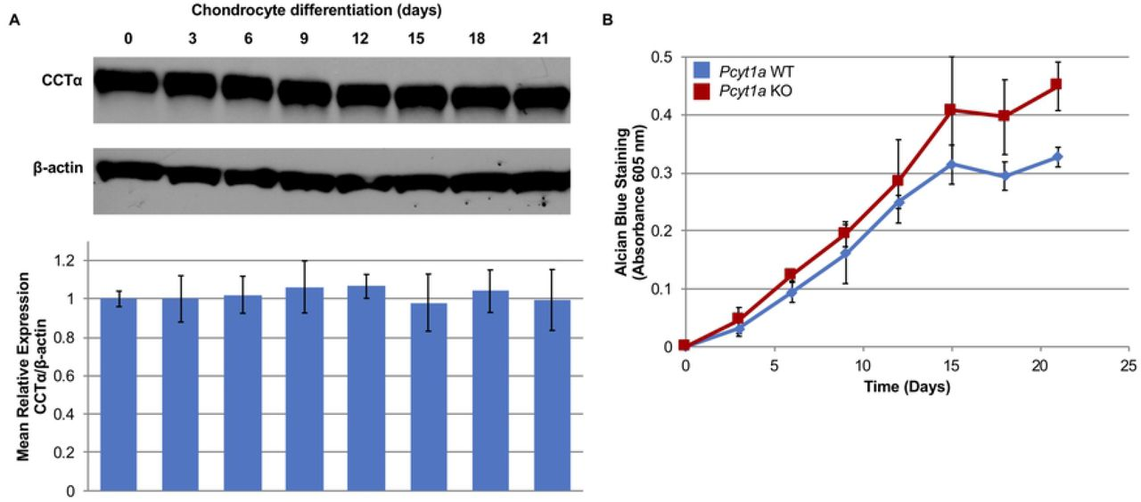 Involvement of Pcyt1a in ATDC5 chondrocyte differentiation. A) Western blot analysis of ATDC5 cell lysates shows that CCTα steady-state levels remain stable over the course of 21 days of chondrocyte differentiation. B) Rates of chondrocyte differentiation in control and Pcyt1a -null ATDC5 cells were measured by absorbance of Alcian blue in SDS-lysed cell extracts. n=3 biological replicates for each time point.