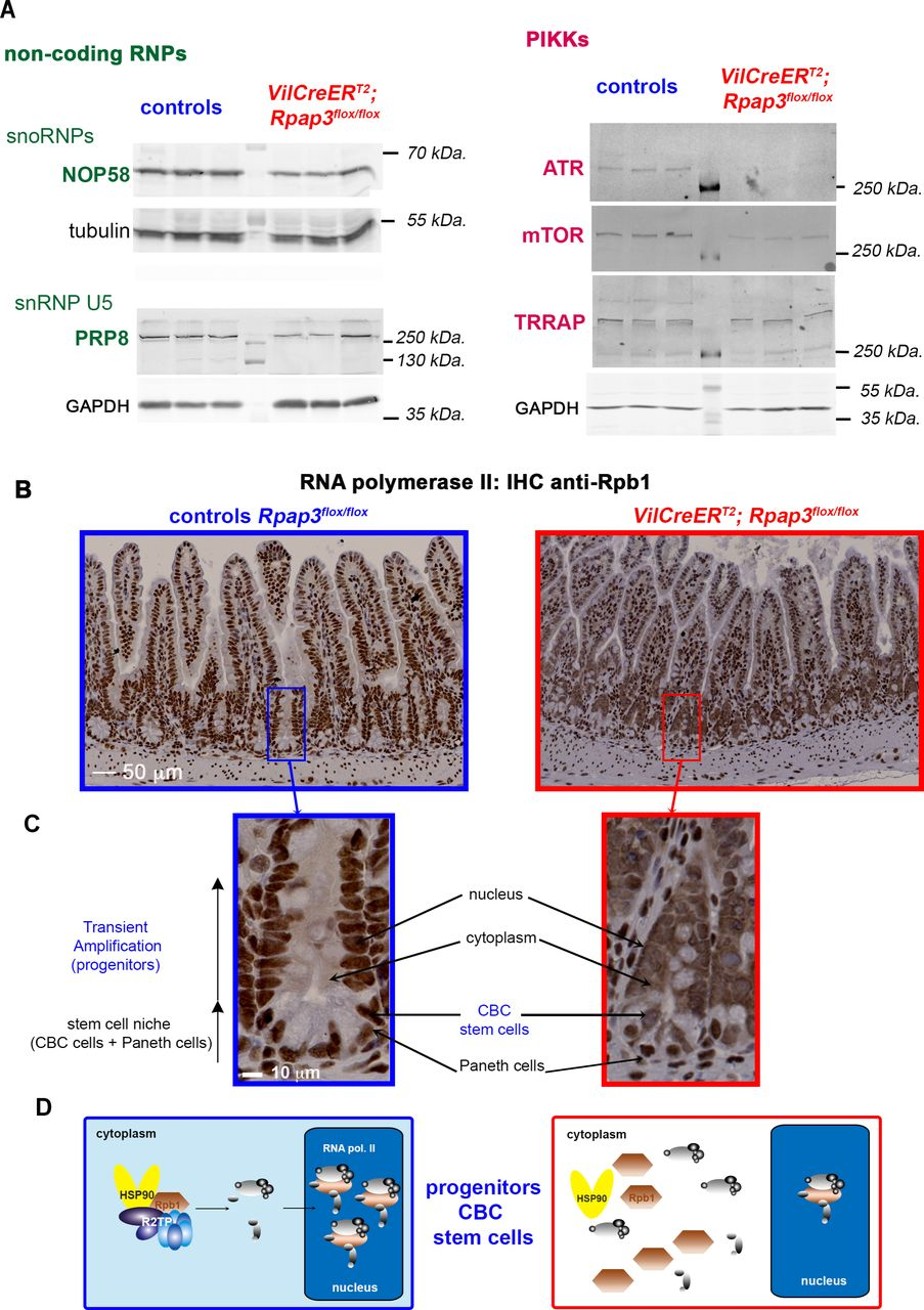 Rpap3 deletion decreases expression of R2TP clients and leads to cytoplasmic accumulation of RNA polymerase II in intestinal crypts and TA compartment. (A) Western blot analysis of preparations enriched for epithelial crypt cells from the jejunum of animals, sacrificed 6 days after the first tamoxifen injection. NOP58, PRP8, ATR and mTOR and TRRAP were detected with specific antibodies. Tubulin and GAPDH were used as loading controls. Each lane was loaded with the lysate obtained from one animal of the indicated genotype (6 animals per gel). Molecular weights are indicated on the right. See Supplemental Figure 4 for an expanded view of the membranes and signal quantification. (B) Images are tissue sections of small intestines stained by immunohistochemistry (IHC) for Rpb1, the large subunit of RNA polymerase II, from control Rpap3 flox/flox mice (blue frame, left panel), or VilCreER T2; Rpap3 flox/flox animals at day 6 (red frame, right panel). Note that the staining in stromal cells is nuclear in both wild-type and VilCreER T2 ; Rpap3 flox/flox animals (stromal cells do not express the Cre), while it becomes cytoplasmic in the mutant epithelium. The scale is identical for both pictures. Panels are representative for n=6 animals from three independent experiments. (C) Magnification of crypts from (B). The scale bar is identical for both images. (D) Schematic interpretation of the IHC in (B, C). In control epithelial cells, R2TP incorporates Rpb1 into RNA PolII, which is then imported into the nucleus. In the absence of Rpap3, neo-synthesized Rpb1 accumulates in the cytoplasm.