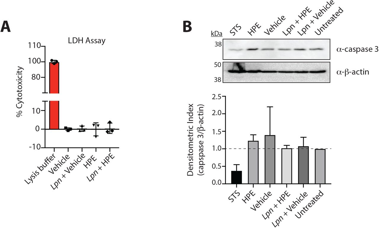 <t>HPE</t> does not impair RAW 264.7 cell viability. (A) RAW 264.7 cell viability was measured by <t>LDH</t> release assay after 4 h of treatment with 1.25 mg/mL HPE or volume equivalent of vehicle in the presence or absence of L. pneumophila Δ flaA infection (MOI of 1), as indicated. Lysis solution was used as a control for 100% cytotoxicity. (B) RAW 264.7 cells were treated with 1.25 mg/mL HPE or volume equivalent of vehicle in the presence or absence of L. pneumophila Δ flaA infection (MOI of 1), as indicated, and abundance of full-length caspase 3 was visualized by Western blotting (top panel) and quantified by densitometric analysis relative to the β-actin loading control (bottom panel). As a control for apoptosis, cells were treated with staurosporine (STS) for 3 h. Data shown are representative of two independent experiments.