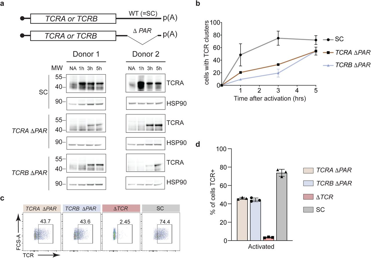 TCR levels in activated primary human T cells with eIF3 3'-UTR PARCLIP sites deleted. a , Western blots measuring TCRA protein levels as a function of time after anti-CD3/anti-CD28 activation. Cell lines used are labeled on the left: TCRA ΔPAR (TCRA gRNA 1+2), TCRB Δ PAR ( TCRB gRNA 1+2), and SC (scrambled gRNA). HSP90 was used as a loading control. Schematics of TCRA and TCRB mRNAs with and without eIF3 PAR-CLIP sites are shown above. SC control cells have the wild-type (WT) 3'-UTRs for TCRA and TCRB mRNAs. b , The number of T cells with one or more TCR clusters measured by anti-TCRA/anti-TCRB protein staining and epifluorescence microscopy as a function of time after anti-CD3/anti-CD28 activation. A total of 100 cells from each donor were imaged for TCRA ΔPAR (n = 2 donors, stained with anti-TCRA antibody), TCRB ΔPAR (n = 2 donors, stained with anti-TCRB antibody), and SC cell lines ( n = 2 donors, each stained separately with anti-TCRA and anti-TCRB antibodies). Values are mean ± standard deviation. P