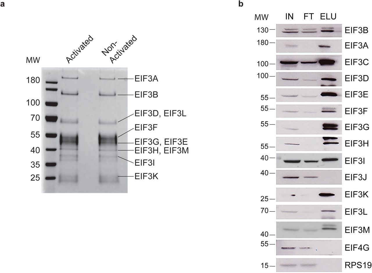 Regulatory pathways leading to dynamics of TCR protein expression levels. a, Western blots of TCRA protein levels in primary human T cells using different activation modes. b, Western blot of TCRA protein levels in Jurkat cells activated with anti-CD3/anti-CD28 antibodies. An anti-Phospho-GSK-3β antibody was used to measure AKT activity. c, Western blot of TCRA protein levels in Jurkat cells activated with anti-CD3/anti-CD28 antibodies in the presence of AKT inhibitor AZD5363. In all panels HSP90 was used as a loading control. Experiments with AKT inhibitors were carried out in duplicate.