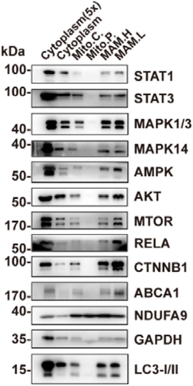 Other TFs or signaling proteins are present in MAM but not in mitochondria. Western blot analysis of the Percoll density centrifugation result showed that TFs or signaling proteins including <t>STAT1,</t> MAPKs, AMPK, AKT, mTOR, and RELA could only be found in the MAM fractions but not in pure mitochondria. Mito.C., crude mitochondrial fraction; Mito.P., pure mitochondrial fraction; MAM.H, heavy MAM; MAM.L, light MAM.