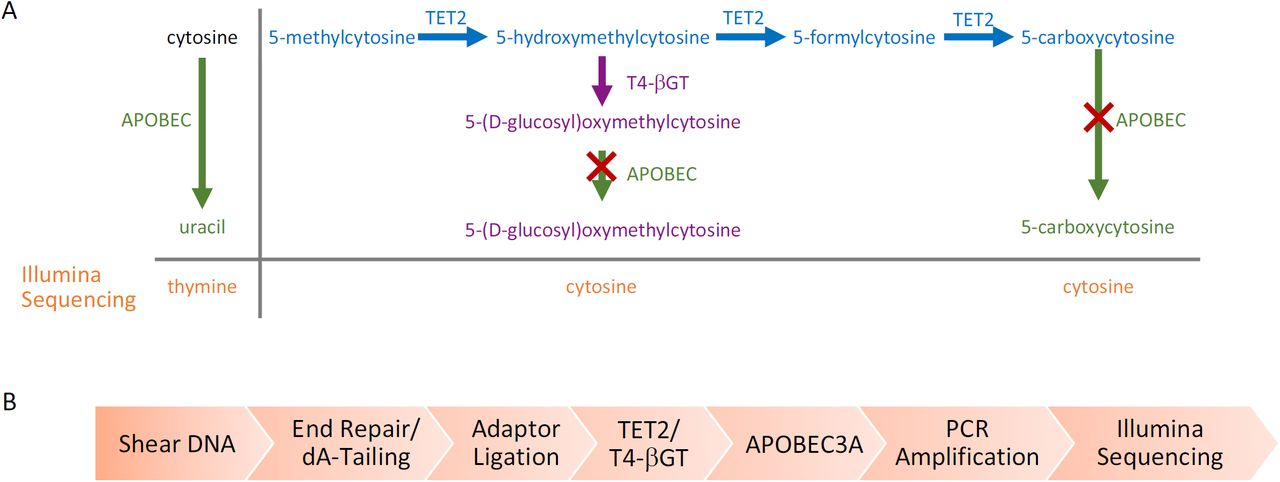 Enzymatic Methyl-seq mechanism of action and workflow (A) Principle pathways that are important for enzymatic identification of 5mC and 5hmC using Enzymatic Methyl-seq. The actions of TET2 (blue) and T4-βGT (purple) on 5mC and its oxidation products, as well as the activity of APOBEC3A (green) on cytosine, 5gmC and 5caC are shown. The red cross represents no APOBEC3A activity. T4-βGT glucosylates 5hmC (pre-existing 5hmC and that formed by the action of TET2). TET2 converts 5mC through the intermediates 5hmC and 5fC into 5caC. APOBEC3A has limited activity on 5fC and undetectable activity on 5gmC and 5caC ( Figure 3C ). Uracil is replaced by thymine during PCR and is read as thymine during Illumina sequencing. (B) DNA is sheared to approximately 300 bp, end repaired and 3' A-tailed. EM-seq adaptors are then ligated to the DNA. The DNA is treated with TET2 and T4-βGT before moving to the deamination reaction. The library is PCR amplified using EM-seq adaptor primers and can be sequenced on any Illumina sequencer.