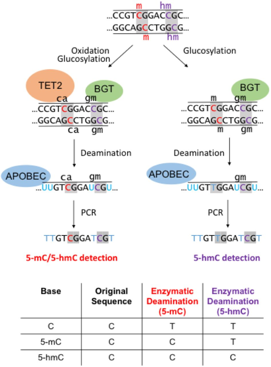 Principle of the EM-seq methodology: genomic DNA can either be treated with TET2 and BGT (left) to protect both 5-mC and 5-hmC, or BGT alone (right) to protect 5-hmC. Subsequent deamination by APOBEC3A followed by PCR amplification allows the distinction between the unprotected substrate (read as T) from the protected cytosine derivatives (read as C).