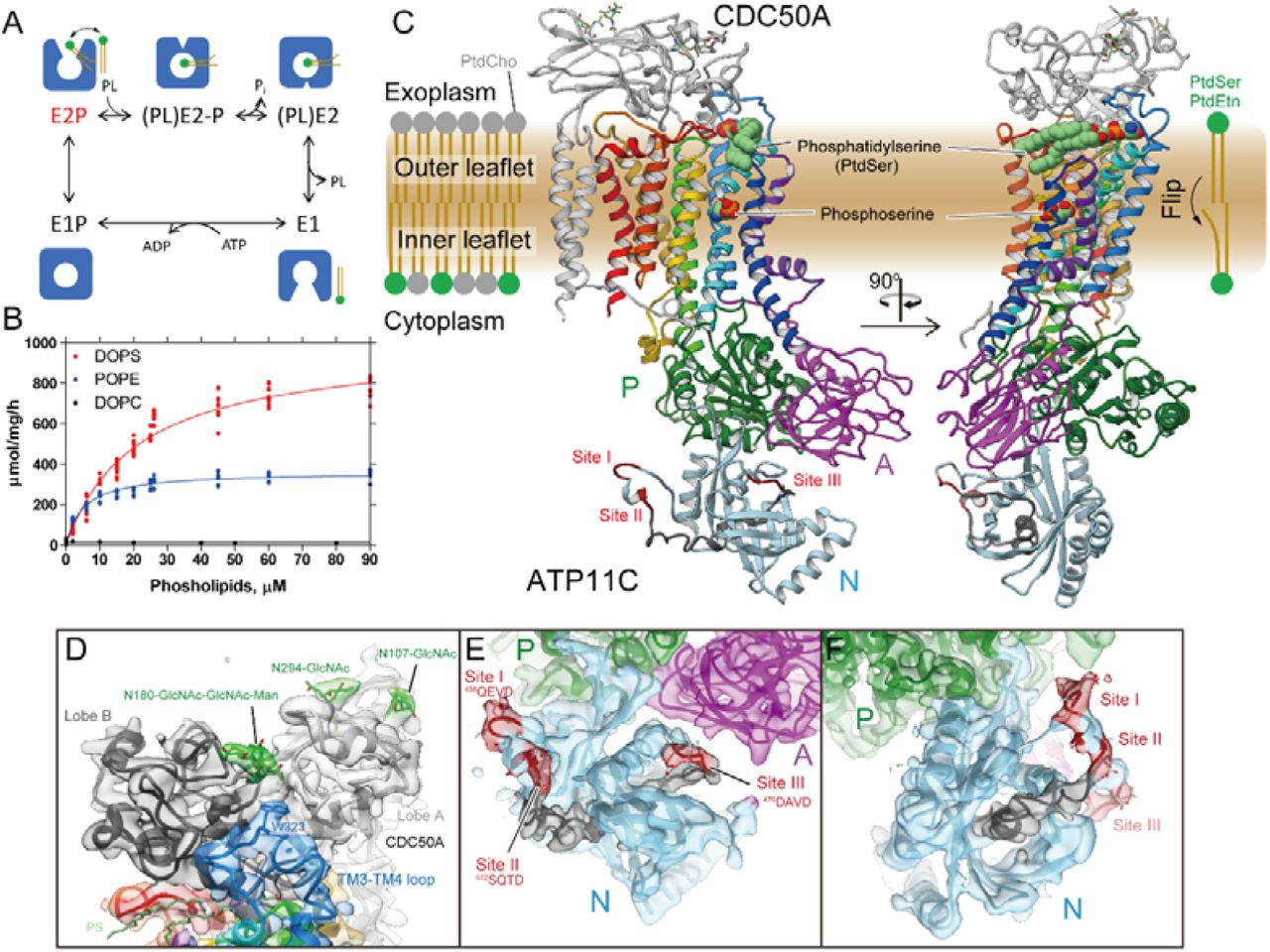Structural determination of ATP11C-CDC50A complex (A) Construction of TP11C and CDC50A used in crystallization. See Methods for details. (B) Purification of ATP11C-CDC50A complex. Lane 1: solubilized cell lysate, lane 2: pass-through of Flag resin, lane 3: wash fraction, lane 4: elution by Flag peptide (subjected to ATPase assay), lane 5: TEV proteinase- and endoglycosidase-treated sample, lane 6: pass-through fraction of Ni-NTA and amylose resin, lane 7: concentrated peak fractions by size-exclusion chromatography (arrowhead in the left panel). Arrowheads on the right indicated as follows, a: HSP70, b: EndoHf, c: cleaved eGFP, d: TEV proteinase. The elution profile of ATP11C-CDC50A complex by size-exclusion column chromatography is shown on the left. (C) Representative X-ray diffraction obtained from a plate-like crystal shown in D. Diffraction spots better than 3.6Å were obtained along the c * -axis, whereas these are limited to around 4∼6Å in directions along with a * - and b * -axes, thus strongly anisotropic. (D,E) Three-dimensional crystals obtained from the samples purified from Expi293 cells, showing thin, but large plate-like crystals (D). In contrast, small crystals were obtained from CDC50A-KO cells (E). (F) Data acquisition strategy. We employed normal type LithoLoops for helical scan data acquisition from large single crystals. However, because crystals showed strong anisotropy, we also collected data sets by irradiating X-ray beam from the direction perpendicular to the c -axis by using 90° bent type LithoLoops. For the small but well diffracting crystals obtained from CDC50A-KO cells, data from each individual crystals was collected for 10°. All of these crystals showed identical unit cell size and symmetry regardless of crystal morphologies and expression cell types, as seen in the histograms of unit cell dimensions (G). All diffraction data from 1,588 crystals were finally merged into a single data set (H), and used for the molecular replacement.