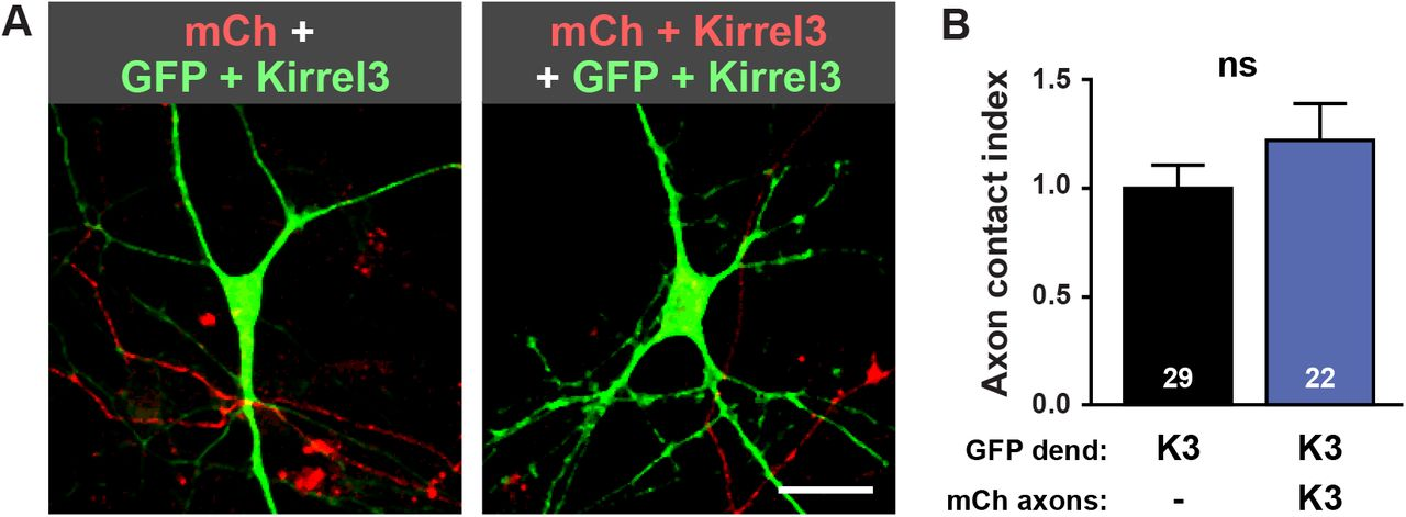 Kirrel3 expression does not increase axon-dendrite contact in cultured neurons. A, Representative images of neurons transfected with GFP and Kirrel3 (green) contacted by mCherry (mCh) labeled axons with (top) or without (bottom) Kirrel3. Scale bar = 10μm. B , Quantification of axon contact assay normalized to the Kirrel3-negative mCherry-labelled axon condition. Axon contact index is the area of mCherry positive axon per area GFP positive cell. n=22-29 neurons (indicated in each bar) from 2 cultures, p=0.2445 (Mann Whitney Test). ns = not significant.