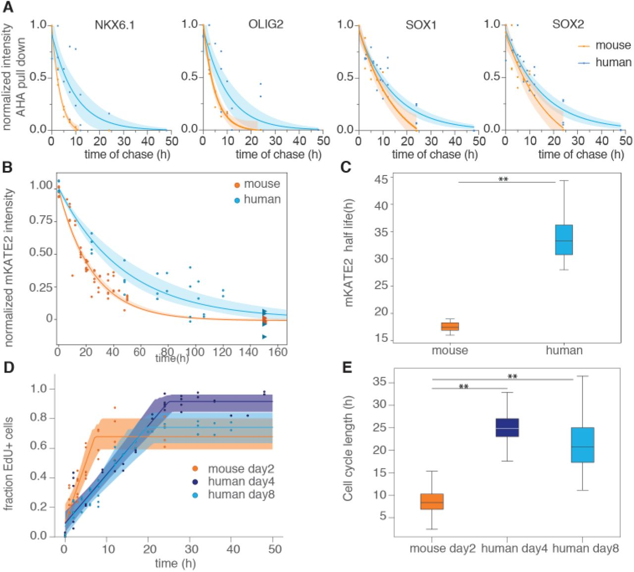 Protein degradation and cell cycle account for the speed differences between species. (A) Mouse and human normalized intensity measurements of NKX6.1, OLIG2, SOX1 and SOX2 after AHA pulse-chase experiments on AHA-labeled and purified nascent proteins. Line and shadowed areas show best exponential fit with 95% confidence intervals. (B) Normalized intensity measurements of mKATE2 in mouse and human Ptch1::T2A-mKate2 cell lines. Line and shadowed areas show best exponential fit and its 70% HDI. (C) Estimated half-lives for mKATE2 in mouse (orange) and human (blue) cells. (D) Cell cycle measurements of mouse neural progenitors at day two, and human neural progenitors at days 4 and 8. Line and shadowed areas show best fit and its 80% HDI (E) Cell cycle length estimations in mouse neural progenitors at day two, and human neural progenitors at days 4 and 8. For all plots, mouse data is orange-colored, and human is blue. Statistical significance (**) corresponds with