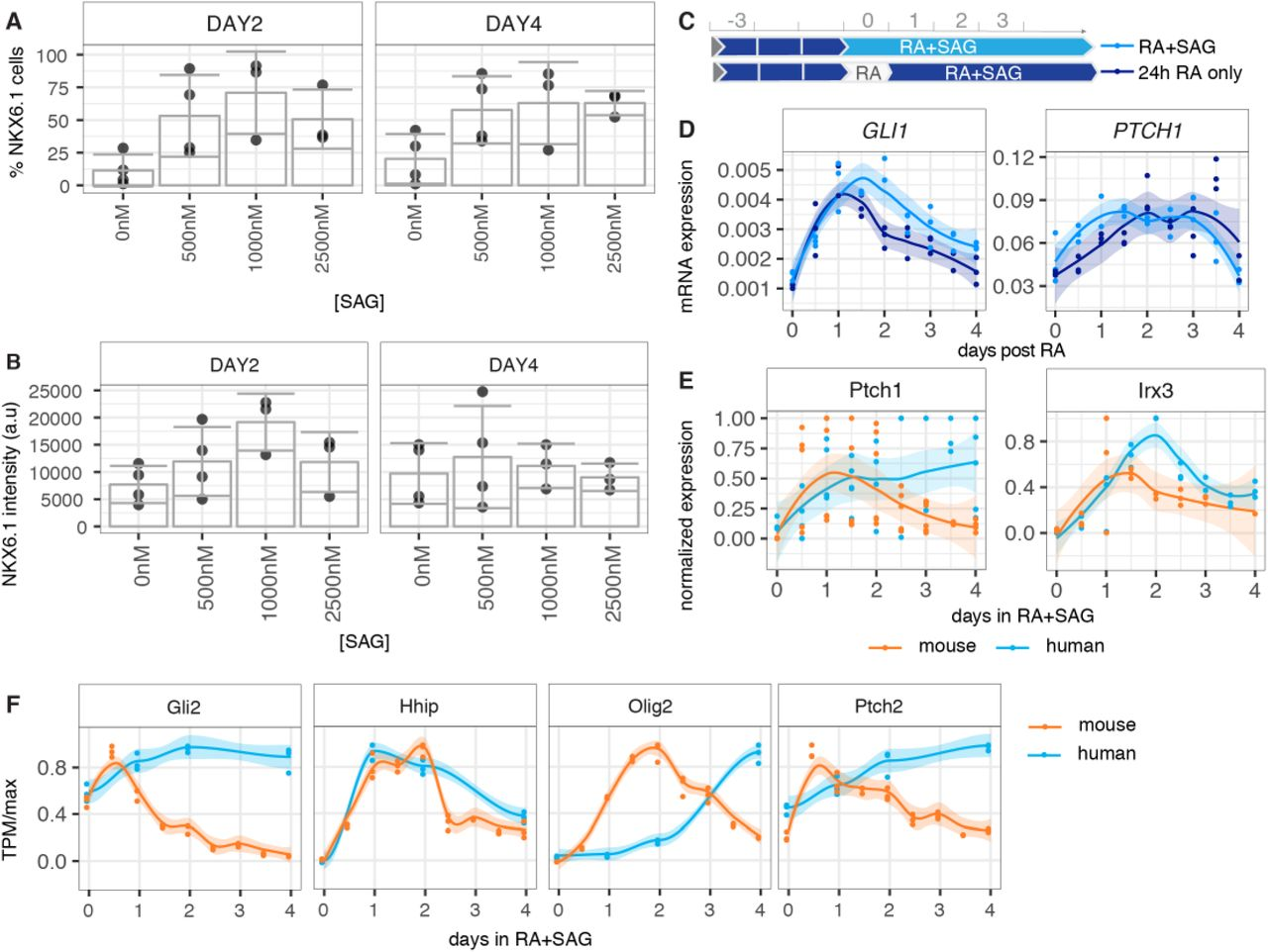 Dynamics of Shh at the time of induction in mouse and human neural progenitors. (A) Percentage of NKX6.1 measured by flow cytometry in SOX2-e×pressing cells at day 2 and day 4 after addition of SAG at increasing concentrations. (B) NKX6.1 mean intensity level from the same samples with increasing concentrations of SAG are comparable at day 2 and day 4. (C) Scheme outlining the standard differentiation protocol where RA and SAG are added at the same time (light blue), versus a treatment where SAG addition is delayed for 24h (dark blue). (D) RT-qPCR data reveals no substantial differences in the induction dynamics of Gli1, Ptchi from the moment of addition of SAG. (E) RT-qPCR data measured in 12h intervals reveals similar gene expression dynamics in mouse (orange) and human (blue) Ptchi and distinct Irx3 expression. (F) Normalized expression of other Hedghog target genes from the RNAseq. (Transcripts per million (TPM)).