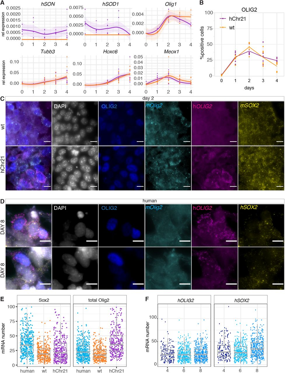 Characterization of mouse in vitro differentiations in the mouse ES cell line carrying hChr21. (A) Expression of Sod1 and Son human genes located on Chromosome 21, the neural markers Tubb3 and Olig 1 and the mesoderm marker Meoxl in wt and hChr21 differentiations. (B) Percentage of OLIG2 positive cells from days 0 to 4 in wt and hChr21 differentiation show no major changes in cell proportions over time. (C) Representative images of smFISH used for segmentation and quantification of wt and hChr21 mouse cells. (D) Representative images of smFISH used for segmentation and quantification of human MN differentiation. (E) <t>Sox2</t> and total Olig2 mRNA number in human, wt and hChr21 neural progenitors. (F) hSOX2 and hOLIG2 mRNA number in human neural progenitors at days 4, 5 and 6. Scale bars 50μM.