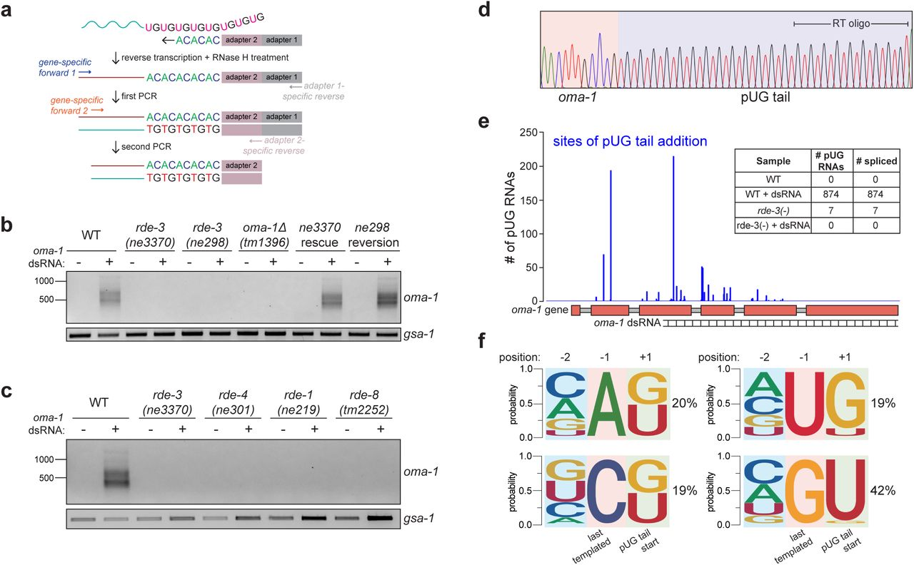 pUG tails are added to mRNA fragments in vivo . a , PCR-based assay to detect gene-specific pUG RNAs. Total RNA was reverse transcribed (RT) using an (AC) 9 oligo modified with two PCR adapters and then degraded using RNase H. Two rounds of PCR were performed using gene-specific and adapter-specific primers. Note: the (AC) 9 RT oligo can complementary base-pair anywhere along the length of a pUG tail. b , oma-1 pUG PCR was performed on total RNA isolated from wild-type animals and two different rde-3 mutant strains fed E. coli expressing empty vector control or oma-1 dsRNA (RNAi). RDE-3 function was rescued in ne3370 and ne298 animals (see Main text and Methods for details). gsa-1 , which has an 18nt long genomically-encoded pUG repeat in its 3'UTR, is a loading control. c, oma-1 pUG PCR on RNA isolated from animals of the indicated genotypes, +/- oma-1 dsRNA. d, Sanger sequencing chromatogram of an oma-1 pUG PCR product showing that a pUG tail consists of perfect UG repeats and is longer than the RT oligo. e, Illumina MiSeq was performed on oma-1 pUG PCR products derived from wild-type and rde-3(-) animals +/- oma-1 dsRNA. # of sequenced pUG RNAs (y-axis) mapping to each pUGylation site (x-axis) is shown. Inset: total number of sequenced and spliced oma-1 pUG RNAs from indicated samples. f, % of oma-1 pUG RNAs (MiSeq reads) having each nucleotide (nt) at the last templated position (−1) is indicated. Logo analysis was used to determine the probability of finding each nt at both the first position of a pUG tail (+1), as well as at the second-to-last templated nt of oma-1 (−2).