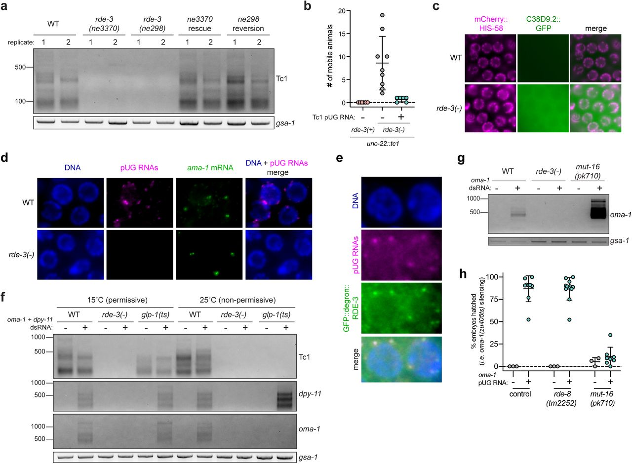 Endogenous RNAs are pUGylated and localize to germline Mutator foci. a , Total RNA isolated from adult wild-type or rde-3 mutant animals was subjected to Tc1 pUG PCR analysis ( Fig. 1a ). Rescue strategies are described in the Main text and Methods. b, A 36nt pUG tail was appended to a 338nt Tc1 RNA fragment and this Tc1 pUG RNA was injected into germlines of rde-3(-); unc-22::tc1 animals with a co-injection marker. 25 co-injection marker expressing progeny were pooled per injected animal. Each data point represents the # of mobile progeny (indicating Tc1 mobilized from unc-22 ) per pool. Error bars represent s.d. c-e, Fluorescent micrographs of adult pachytene germ cell nuclei. c, Wild-type or rde-3(-) animals expressing a marker of chromatin (mCherry:HIS-58, magenta) and C38D9.2::GFP (green), which is expressed diffusely in the germline syncytium, wherein germ cell nuclei share a common cytoplasm. d, RNA FISH to detect pUG RNAs (pUG RNA FISH) was performed on germlines dissected from wild-type or rde-3(-) animals using an 18nt long poly(AC) oligo conjugated to Alexa 647 (magenta). RNA FISH to detect ama-1 mRNA (green) was performed simultaneously as a positive control. DNA was stained with DAPI (blue). e, pUG RNA FISH (magenta) and immunofluorescence to detect a GFP- and degron-tagged RDE-3 (green). DNA was stained with DAPI (blue). f, Tc1, dpy-11 , and oma-1 pUG PCR was performed on total RNA isolated from glp-1(q224 or ts) animals grown at 15°C (permissive temperature, germ cells present) or 25°C (non-permissive temperature,