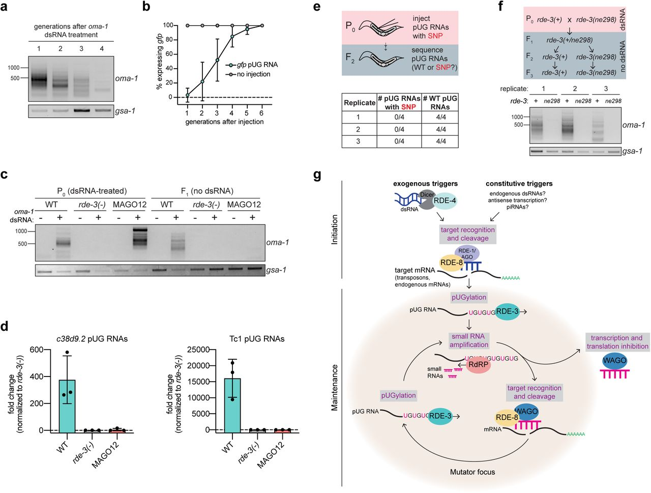 pUG RNAs and siRNAs cooperate to drive heritable gene silencing. a , oma-1 pUG PCR was performed on RNA isolated from four generations of descendants (F 1 -F 4 ) derived from oma-1 dsRNA-treated animals. b, rde-1(ne219); gfp::h2b animals were injected with a gfp pUG RNA and gfp expression was monitored for six generations. c, MAGO12 animals, which harbor deletions in all twelve wago genes, were treated with oma-1 dsRNA. oma-1 pUG PCR was performed on total RNA from dsRNA-treated animals (P 0 ) and their progeny (F 1 ). Note: pUG RNAs appear longer in MAGO12 animals (see Extended Data Fig. 9 legend). d, c38d9.2 and Tc1 pUG RNA expression levels were quantified in embryos harvested from wild-type, MAGO12, or rde-3(-) animals. Shown is the fold change normalized to rde-3(-). e, rde-1(ne219); oma-1(zu405ts) animals were injected with an oma-1(SNP) pUG RNA. pUG RNAs were Sanger sequenced from F 2 progeny to determine the presence or absence of the SNP. f, Wild-type and rde-3(ne298) animals subjected to oma-1 RNAi were crossed and F 2 progeny were genotyped (not shown). RNA isolated from populations of rde-3(+) or rde-3(ne298) F 3 animals (3 biological replicates) was subjected to oma-1 pUG PCR. g, Model. Two major phases of the pUG RNA pathway, initiation and maintenance, are shown. Initiation : exogenous and constitutive (i.e. genomically-encoded such as dsRNA, piRNAs) triggers direct RDE-3 to pUGylate RNAs previously fragmented by RNAi, and possibly other, systems. Maintenance : pUG RNA are templates for RdRPs to make 2° siRNAs. Argonaute proteins (termed WAGOs) bind these 2° siRNAs and: 1) target homologous RNAs for transcriptional and translational silencing (previous work 25 , 30 , 38 , 39 ), and 2) direct the cleavage and de novo RDE-3-mediated pUGylation of additional mRNAs (this work). In this way, cycles of pUG RNA-based siRNA production and siRNA-directed mRNA pUGylation form a silencing loop, which is maintained over time and across generations to mediate stable gene silencing. pUG/siRNA cycling likely occurs in germline perinuclear condensates called Mutator foci.