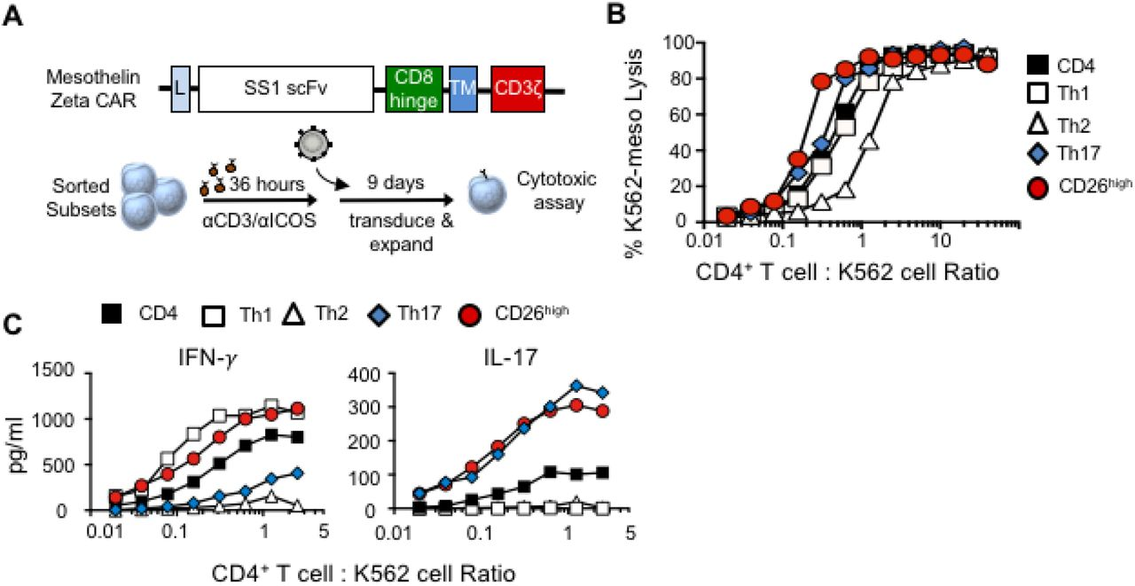 CD26 high cells are cytotoxic and polyfunctional in vitro when engineered with a chimeric antigen receptor. A ) Transduction method. αCD3/ICOS-stimulated CD4 + T cell subsets were genetically engineered with a 1 st generation <t>mesothelin-specific</t> CAR. Cells were expanded for 6 days and analyzed by flow cytometry for CAR expression prior to use. B ) Percentage of K562-meso cells that were lysed by effector CD4 + T cell subsets. C ) Cytokine secretion determined by ELISA. Representative of 3 experiments.