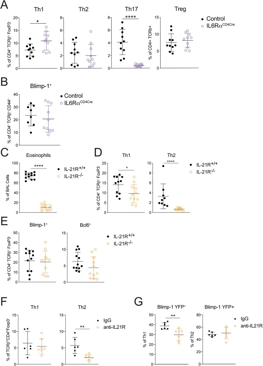 IL-10 and IL-21 do not cooperatively regulate Blimp-1 expression. A) Percent and Geo MFI of IL-10 expressing cells isolated from the lung gated on Live, CD4 + TCR β + FoxP3 - CD44 + . B) Percent of Th1 (IFN γγ + T-bet + ) and Th2 (IL-13 + GATA3 + ) cells in the lung isolated from Blimp-1 YFP animals treated as Control (IgG) or treated with anti-IL-10R, anti-IL21R, or both anti-IL-10R and anti-IL21R for the duration of the HDM-induced allergic lung inflammation model. C) Percent of Blimp-1 YFP + Th1 and Th2 cells in B. Data are pooled from 2-3 experiments with 6-10 total mice per group. Kruskal-Wallis One-way ANOVA. *p