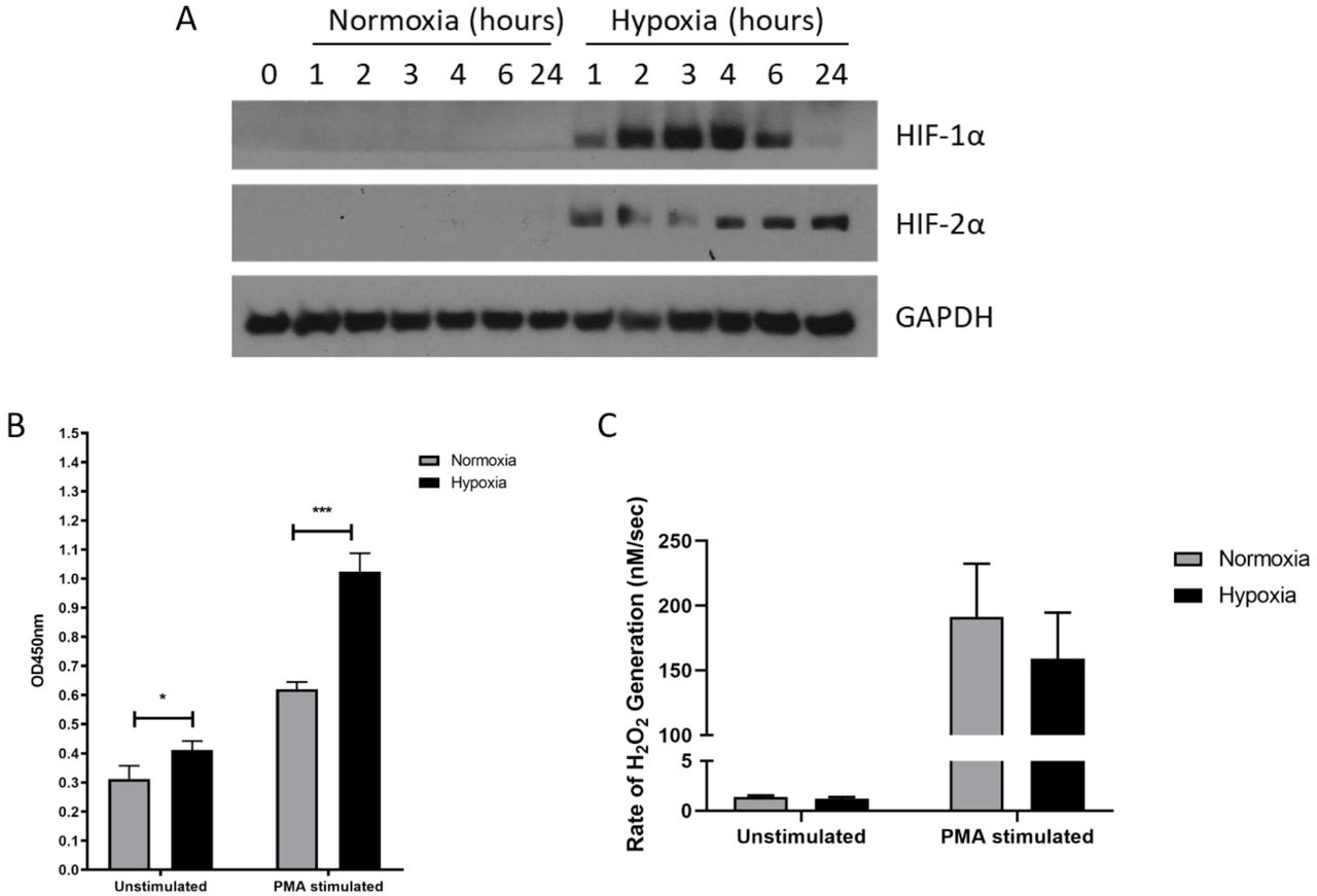 Hypoxia enhances NETosis but not hydrogen peroxide production. The effects of hypoxia upon neutrophil activation was first assessed. (A) The induction of hypoxia was verified by Western blot, probing for HIF-1α and HIF-2α. (B) NETosis was then evaluated by capture ELISA, which detects MPO-citrullinated histone H3 complexes. Data are presented as the mean and SEM from three independent experiments and analysed by two-way ANOVA with a Dunnett's multiple comparison test. (C) Hydrogen peroxide generation was examined using Amplex ® UltraRed in absence and presence of 50nM PMA. Data are presented as the mean and SEM neutrophils isolated from 7 different donors and analysed by two-way ANOVA with a Dunnett's multiple comparison test. *= p