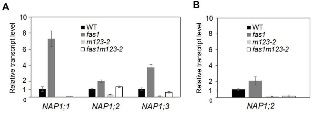 NAP1 genes are overexpressed in fas1 . A) Transcript levels of NAP1;1, NAP1;2 and NAP1;3 genes were determined in 10-d-old seedlings of WT and mutant lines (fas1, m123-2 and fas1m123-2). The fas1 mutant shows higher expression of all NAP1 genes than WT plants. Error bars indicate standard deviations calculated from three biological replicates, ubiquitin 10 was used as a reference gene. B) Relative transcript levels of NAP1;2 gene were determined in leaves of 4-w-old plants of WT and mutant lines ( fas1, m123-2 and fas1m123-2). The fas1 mutant shows two-fold higher expression of NAP1:2 than WT plants, expression in m123-2 and fas1m123-2 mutants is negligible. Error bars indicate standard deviations calculated from three biological replicates, ubiquitin 10 was used as a reference gene.