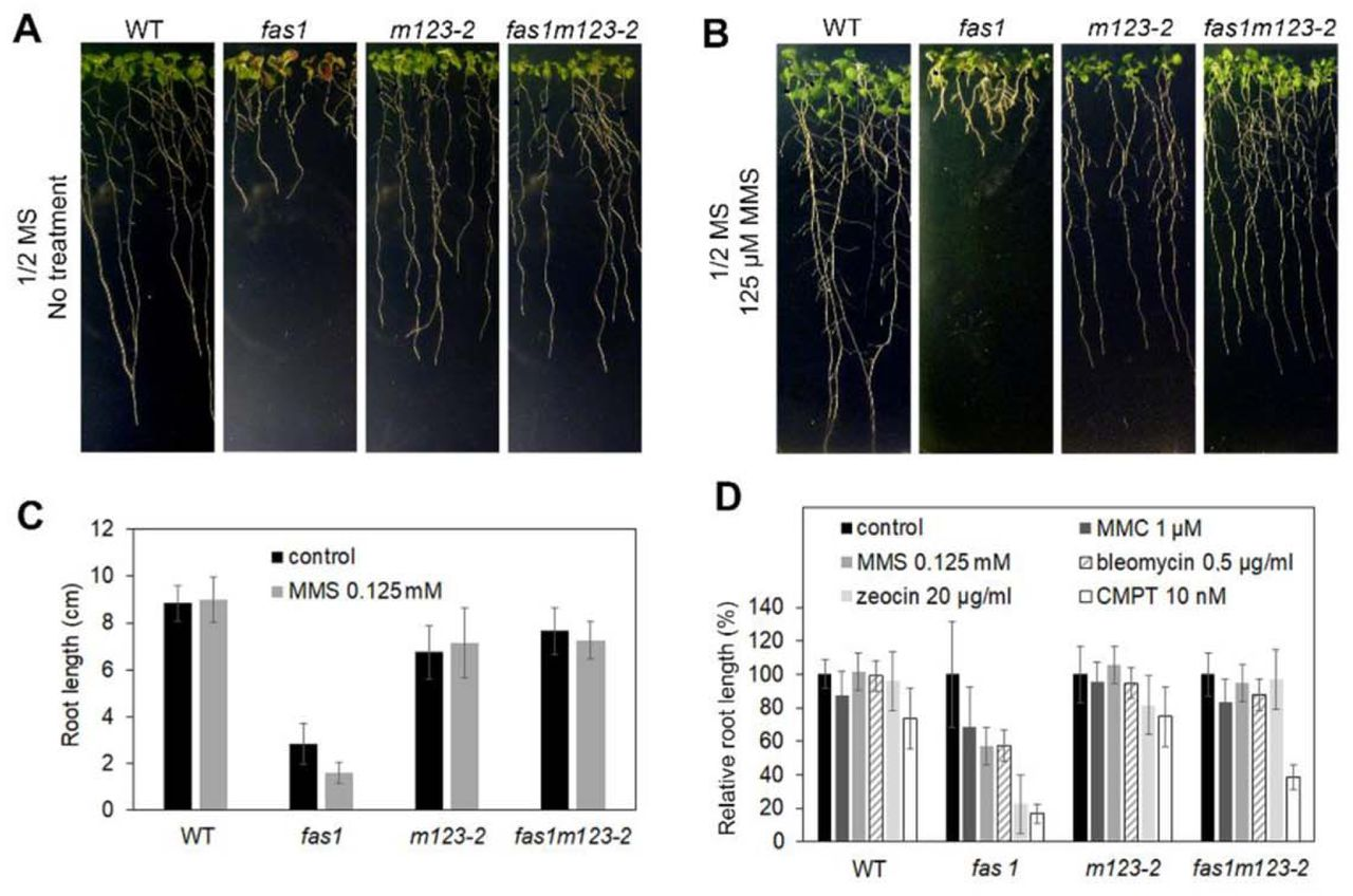 fas1m123-2 plants are not sensitive to genotoxic agents A) 10-d-old WT, fas1, m123-2 and fas1m123-2 plants grown on plates with ½ MS medium (no treatment). B) 10-d-old WT, fas1, m123-2 and faslm123-2 plants grown for 3 days on plates with ½ MS medium and for additional 7 days on ½ MS medium containing 125 μΜ MMS. C) Absolute root lengths of WT, fas1, ml23-2 and fas1m123-2 plants on control ½ MS medium and on medium supplemented with 125 μΜ MMS; 40 plants of each line were used in this analysis. The results are summarised in the chart, error bars indicate standard deviations. D) Relative change of root lengths of WT, fas1, m 123-2 and fas1m123-2 plants grown on control ½ MS medium (100%) and on media supplemented with given concentrations of MMS, MMC, bleomycin, zeocin and camptothecin. Root lengths of 40 plants were measured on seedlings grown for 7 days on genotoxic agents. The results are summarised in the chart, error bars indicate standard deviations.